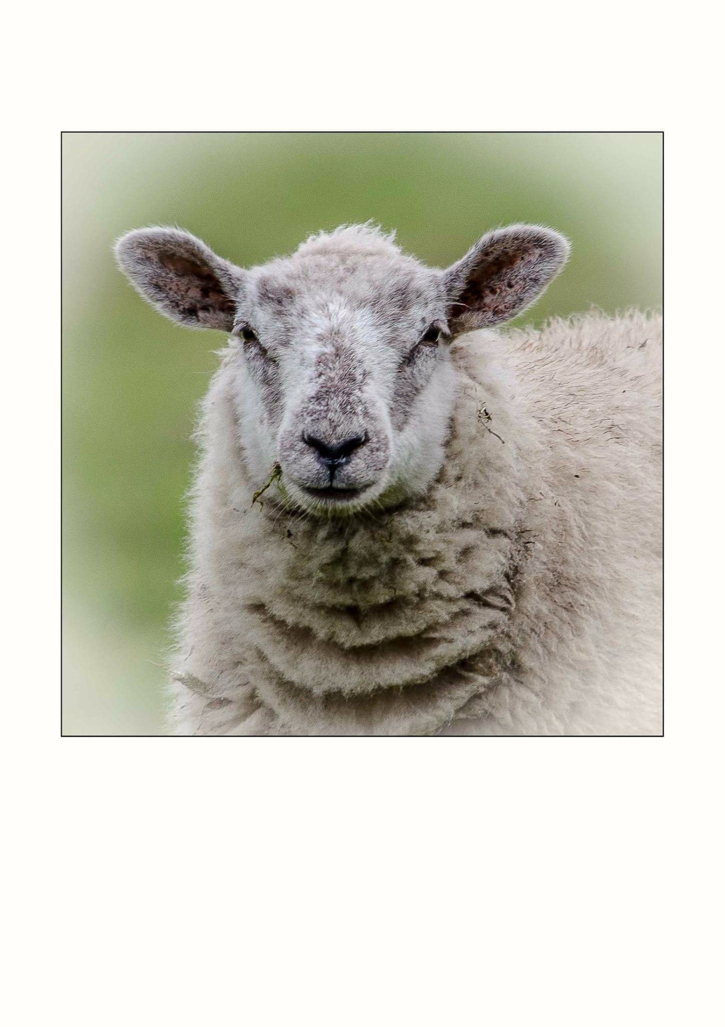 Looking a little sheepish. by John Ponting