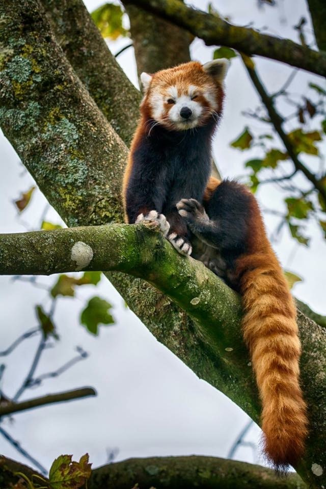 Red Panda by MyWildlifePhotography