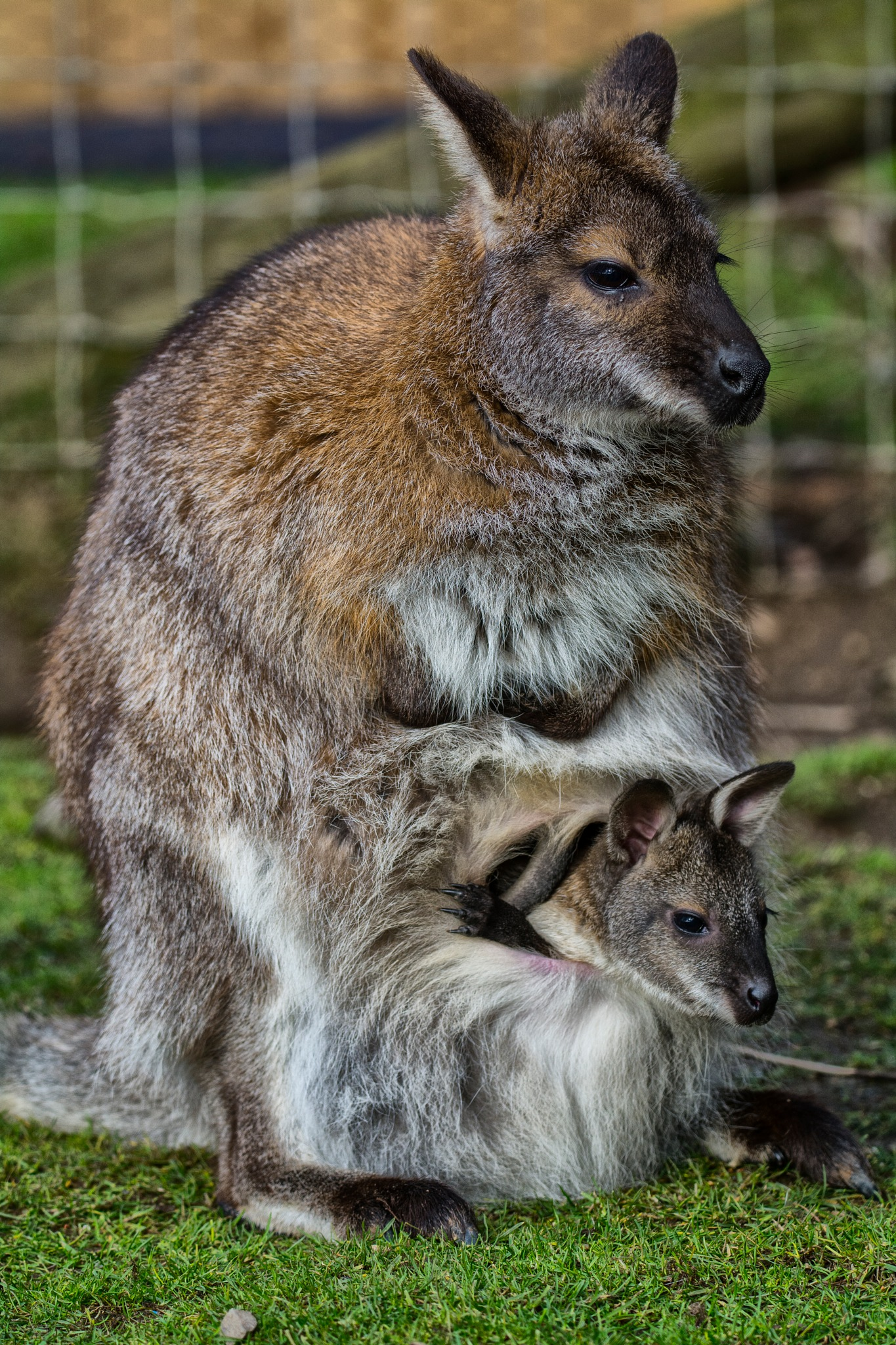 Wallaby with her Joey by MyWildlifePhotography