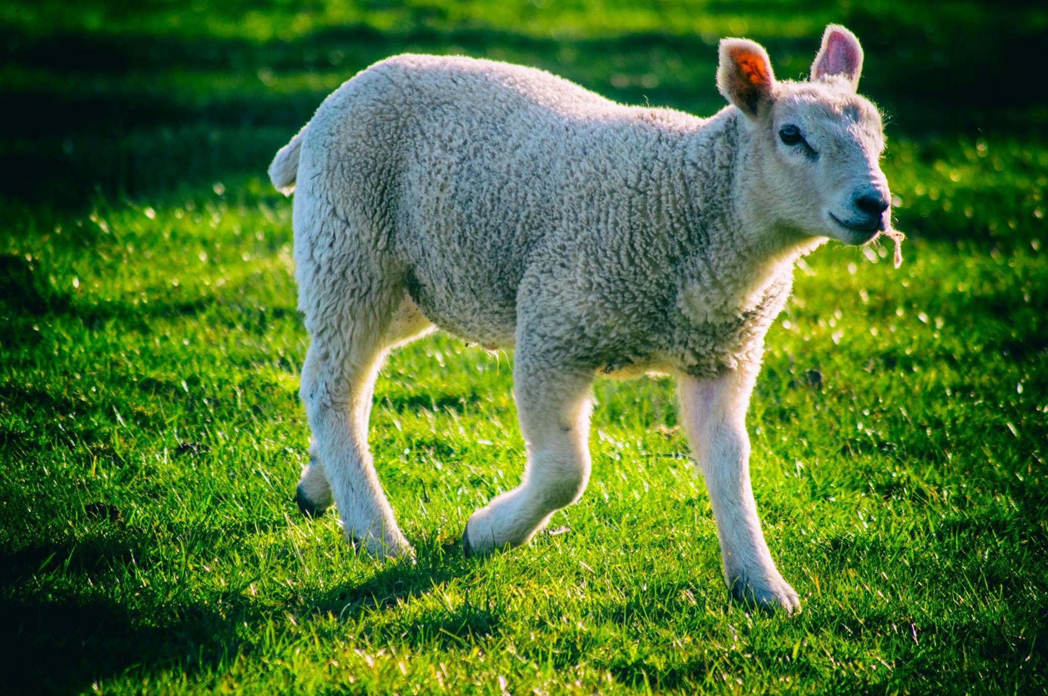 Lamb by MyWildlifePhotography