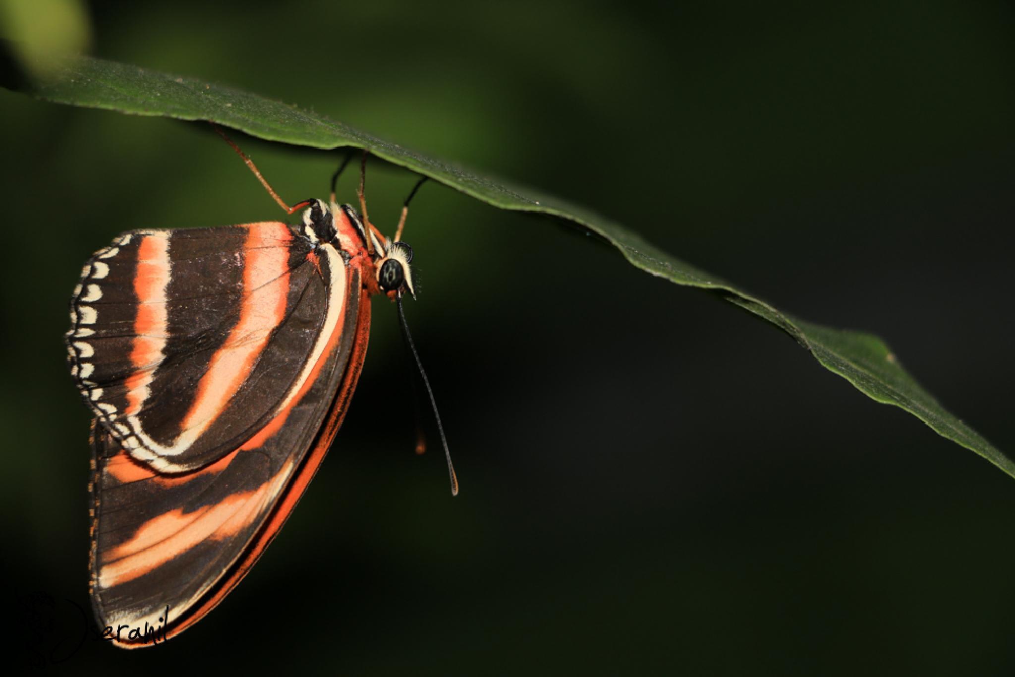 Butterfly VII by Jseranil