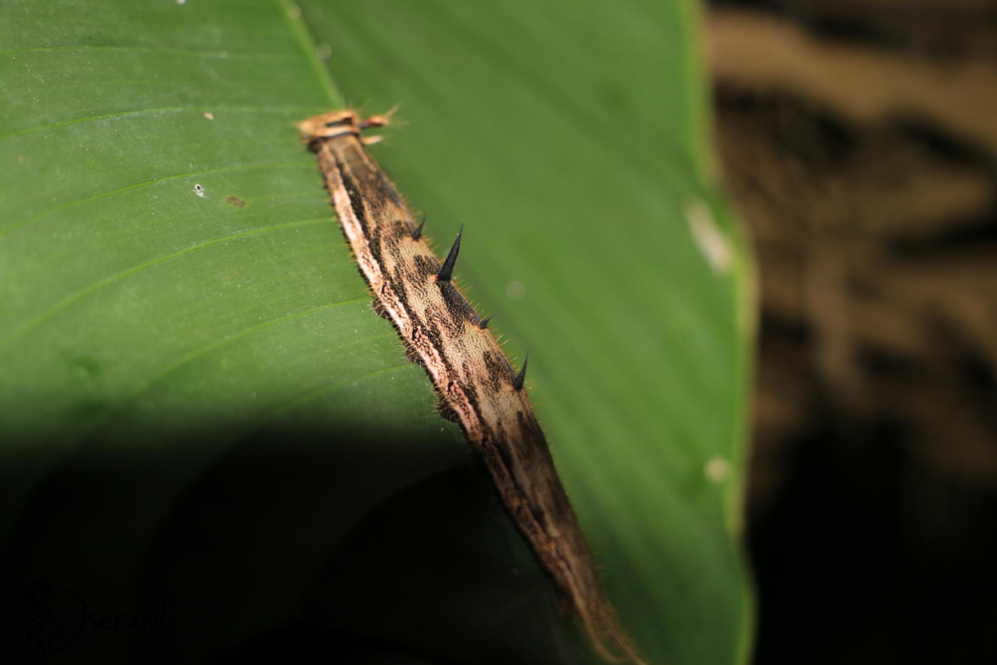 Butterfly Caterpillar by Jseranil