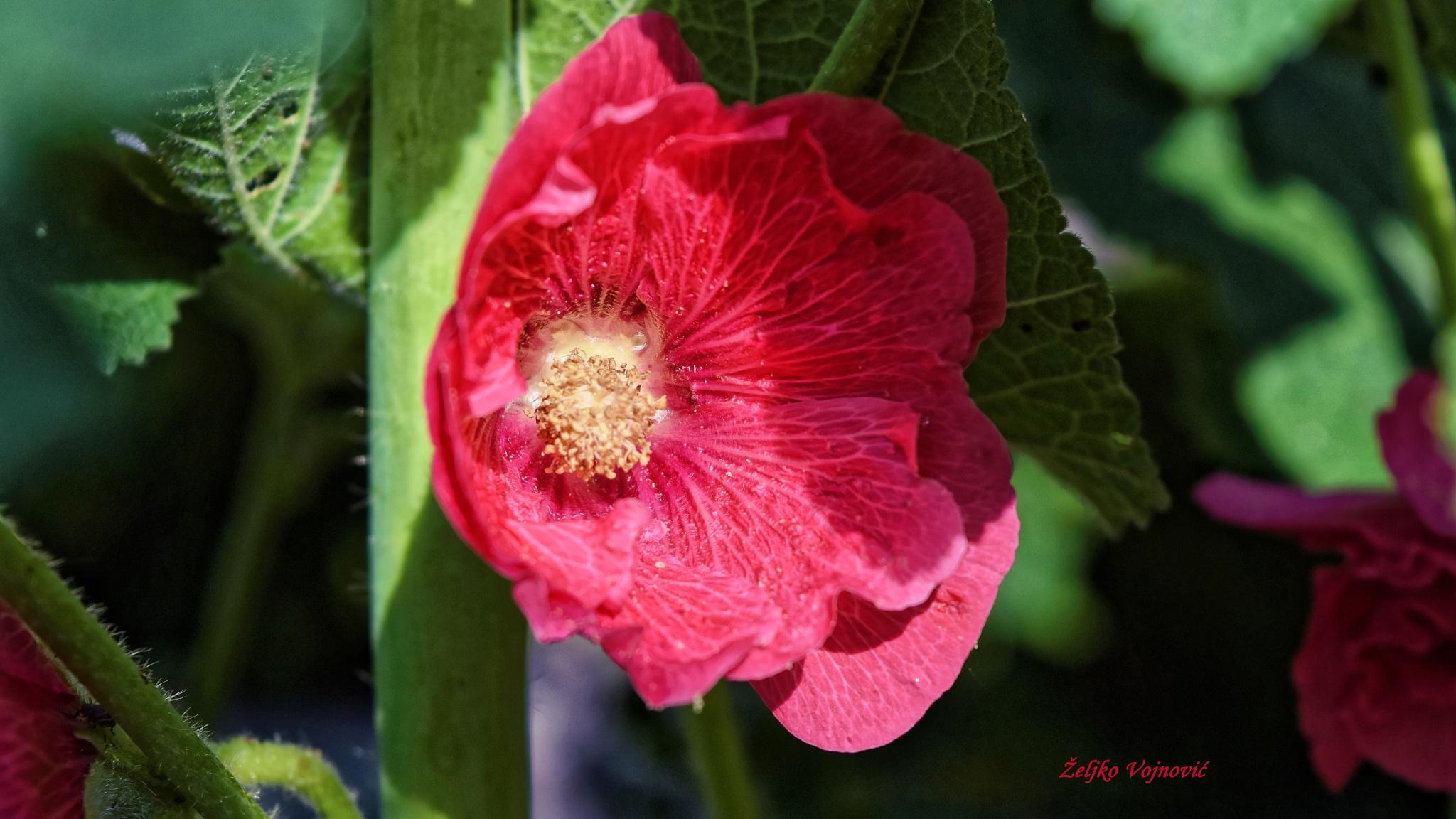 Flower by Željko Vojnović