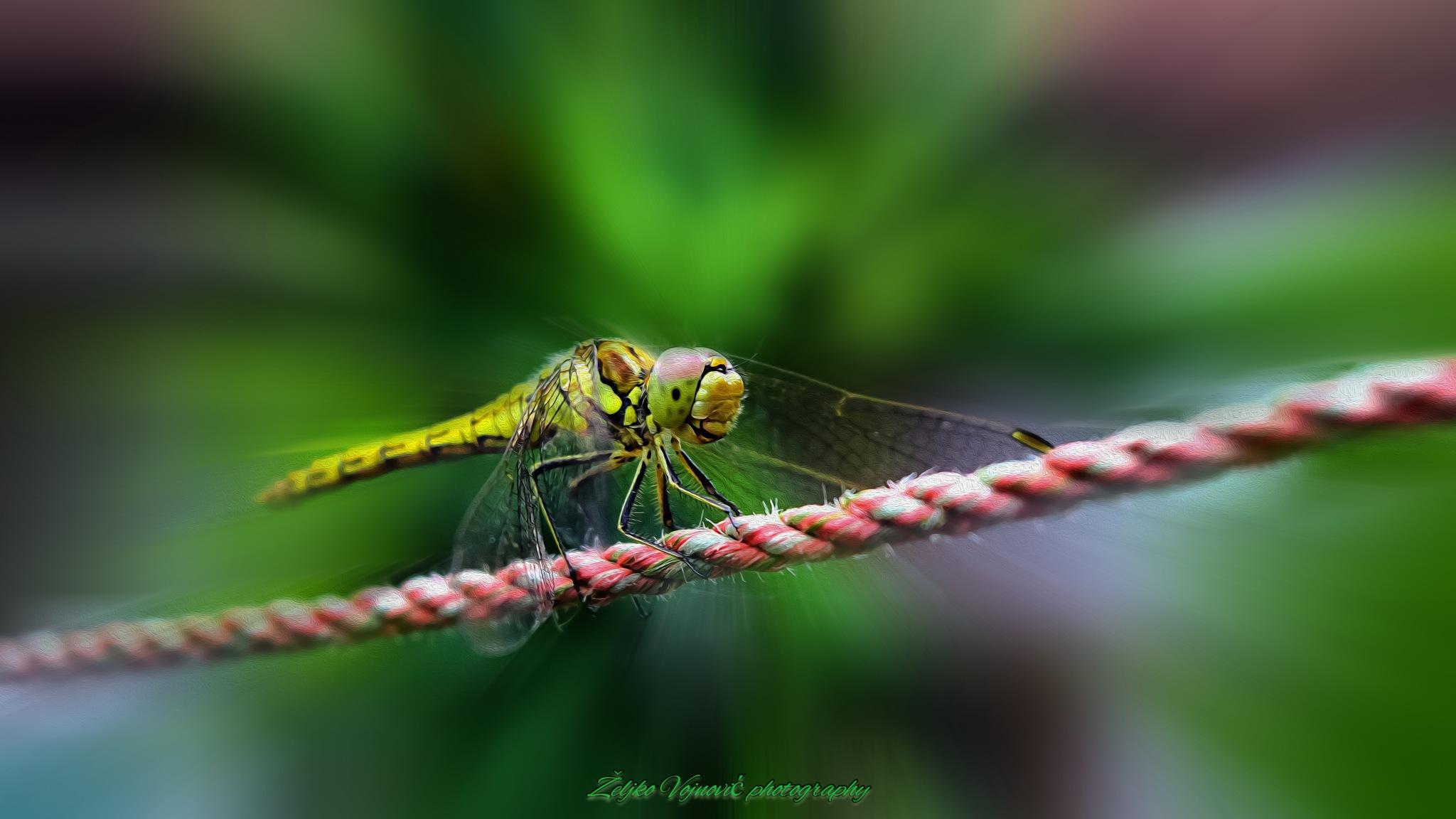Dragonfly by Željko Vojnović