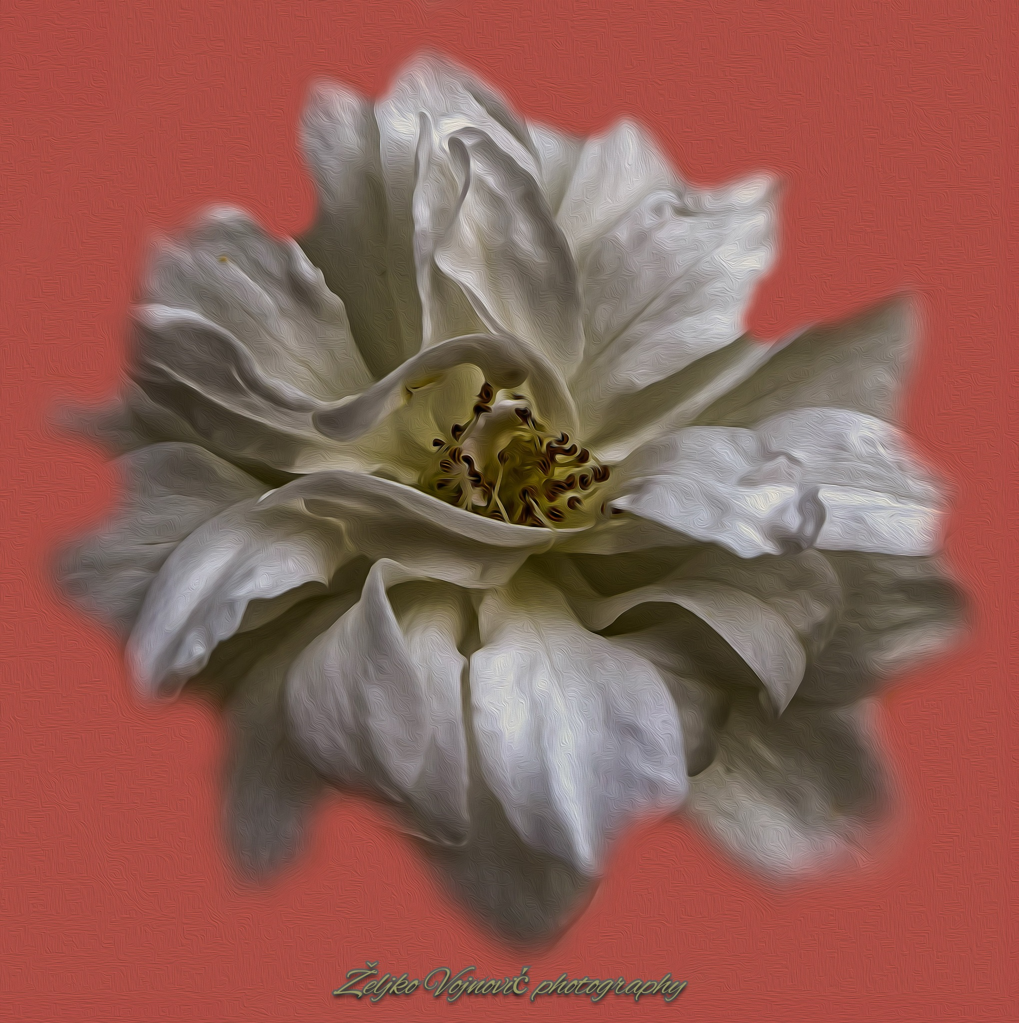 Rose by Željko Vojnović
