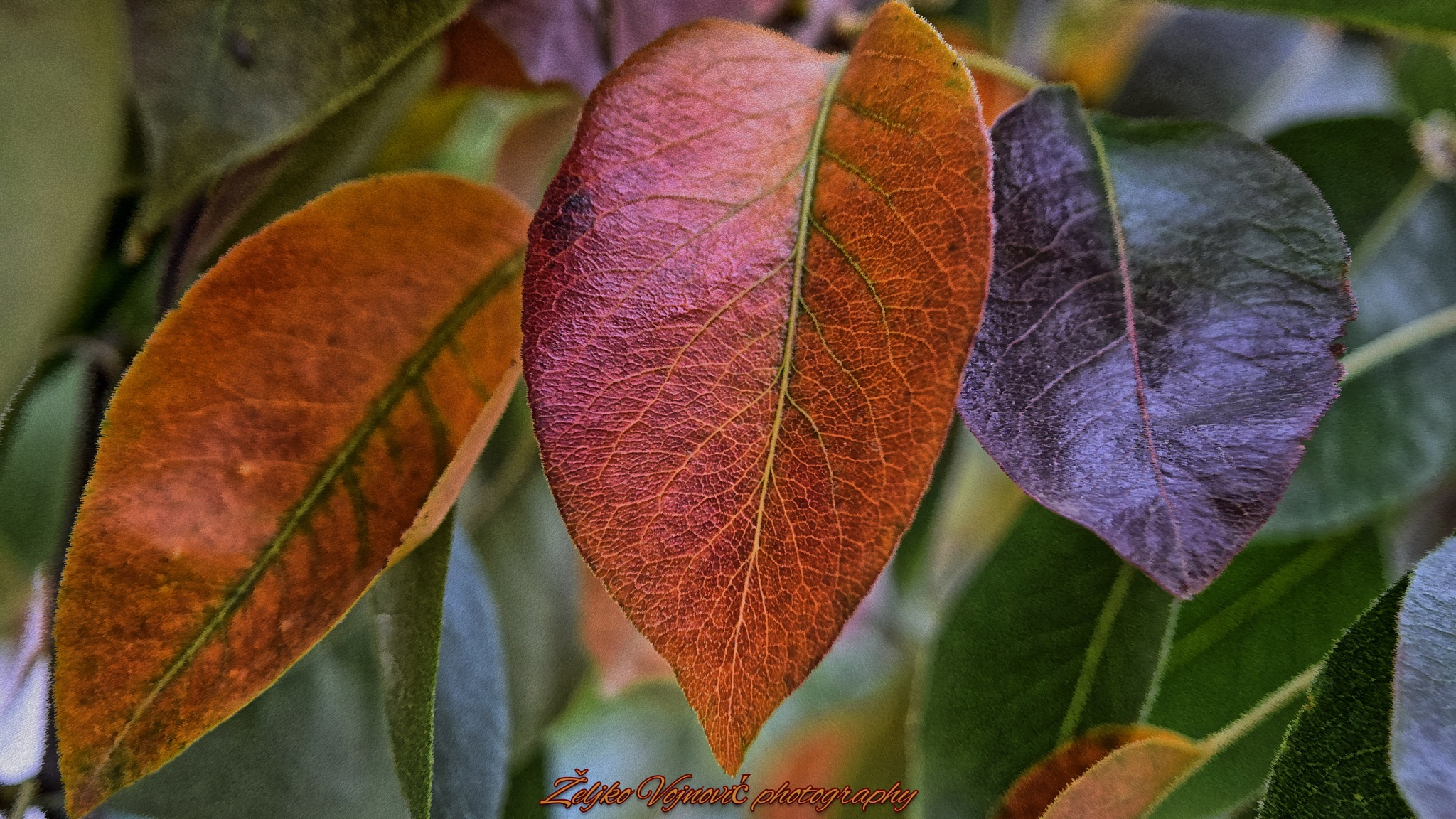 Colors of autumn ...  by Željko Vojnović