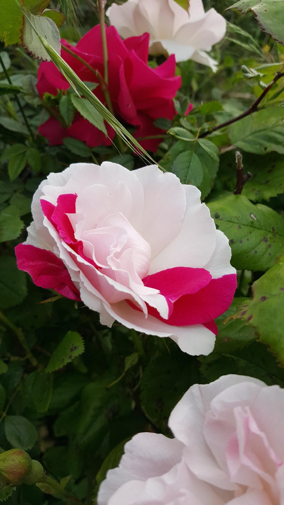 Photo in Random #rose #rose_perfection #rose_garden