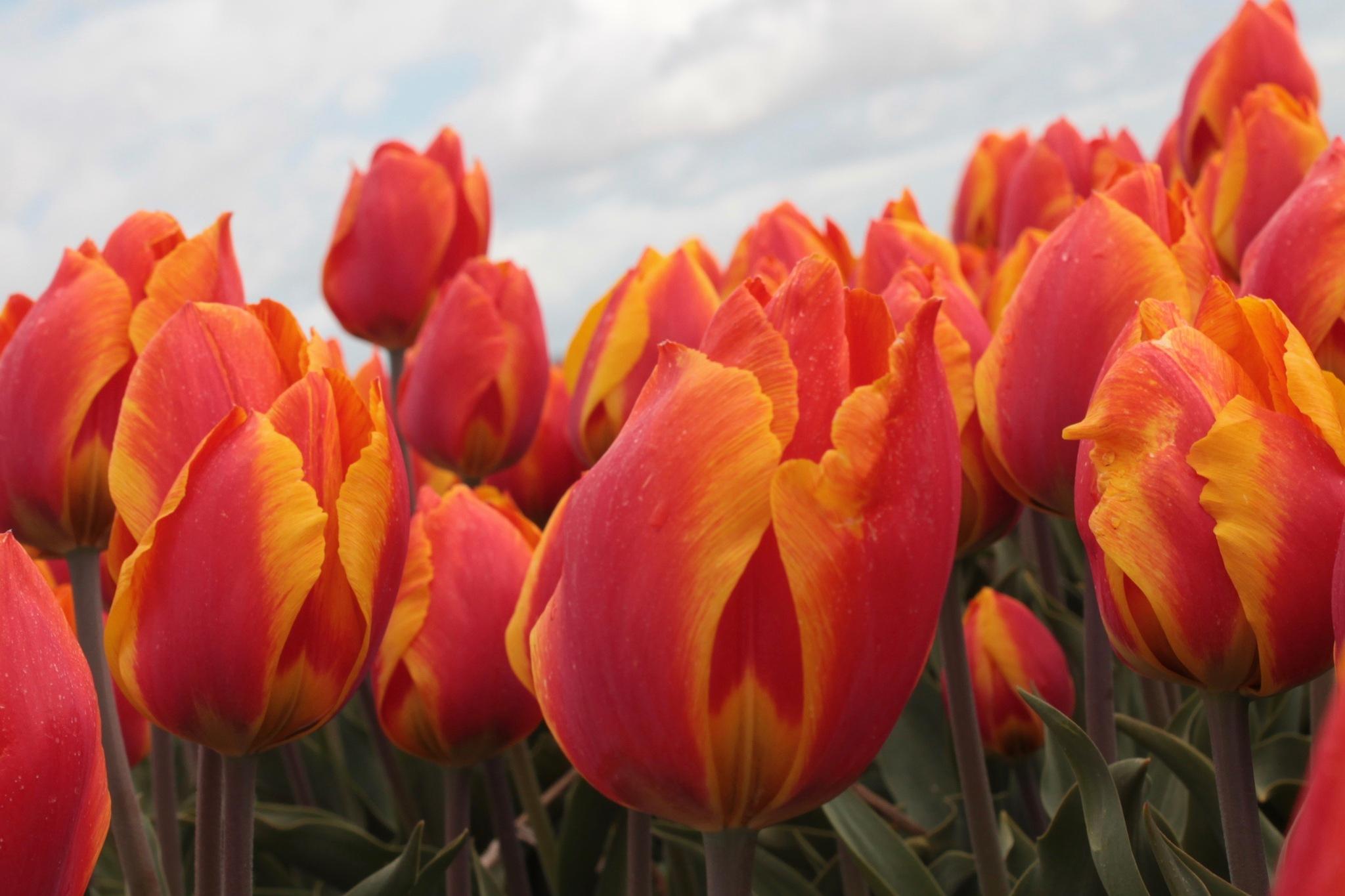 Red Tulips Holland by George Tijhaar