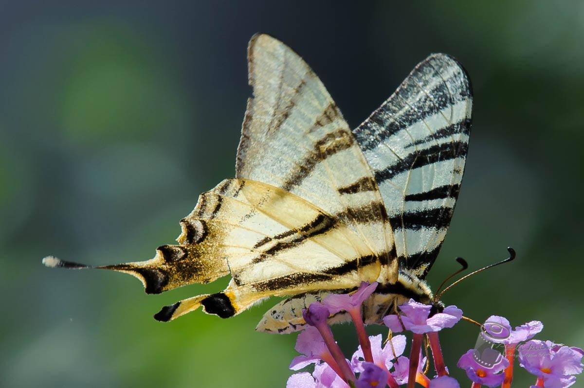Butterfly by Jürgen Van Tomme