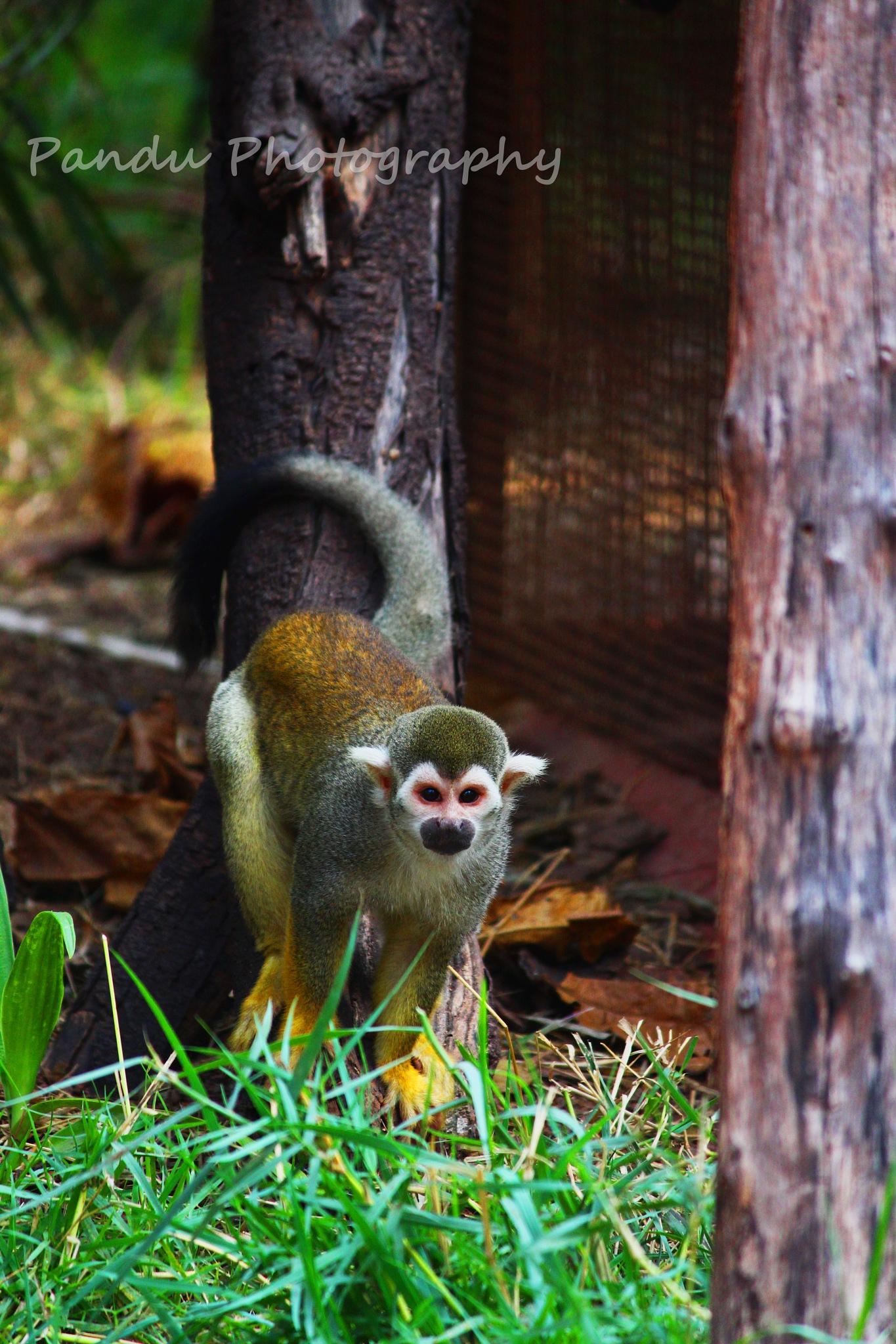 monkey by Naveenkumar Pandu