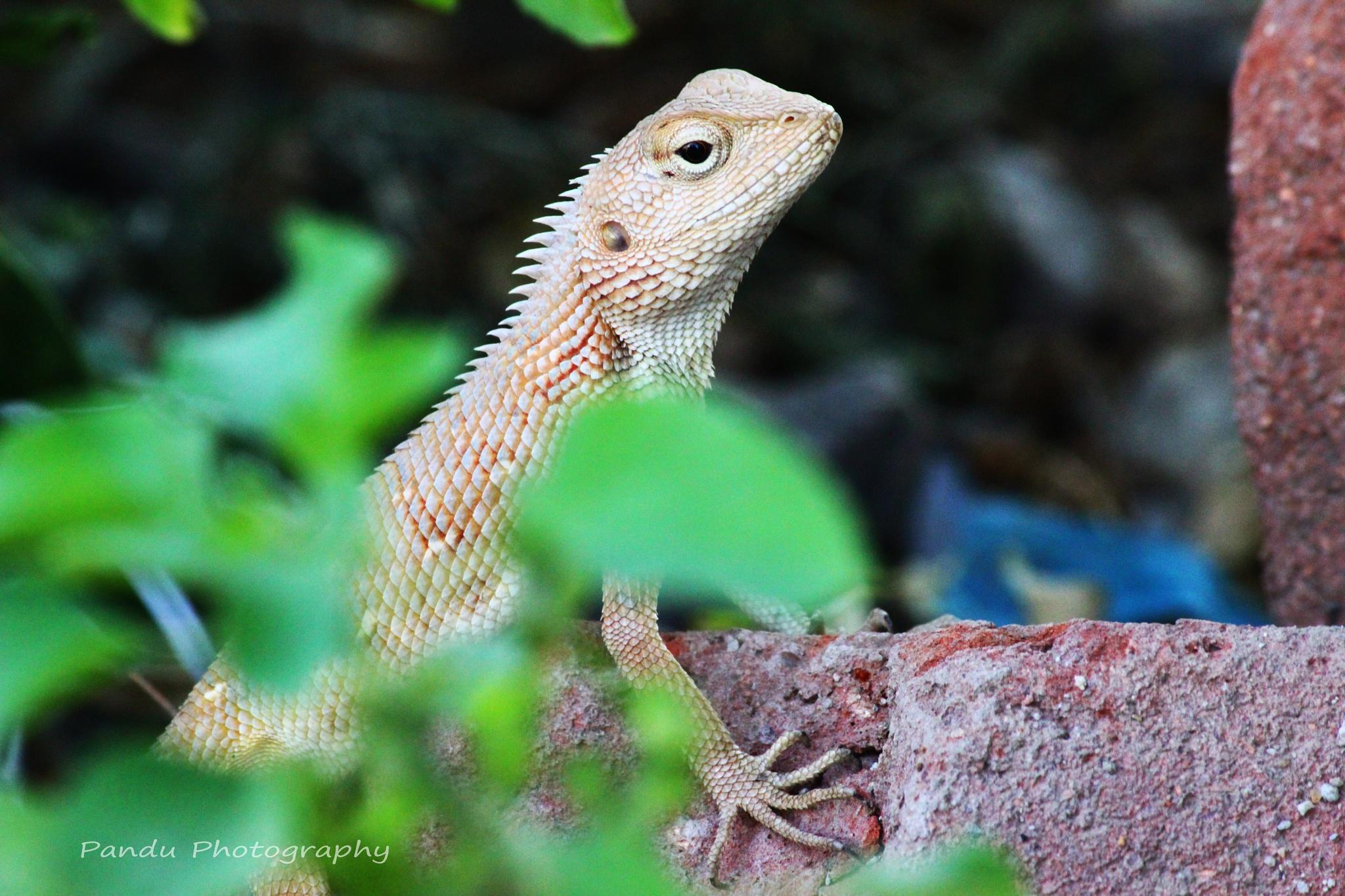 batch of lizard by Naveenkumar Pandu