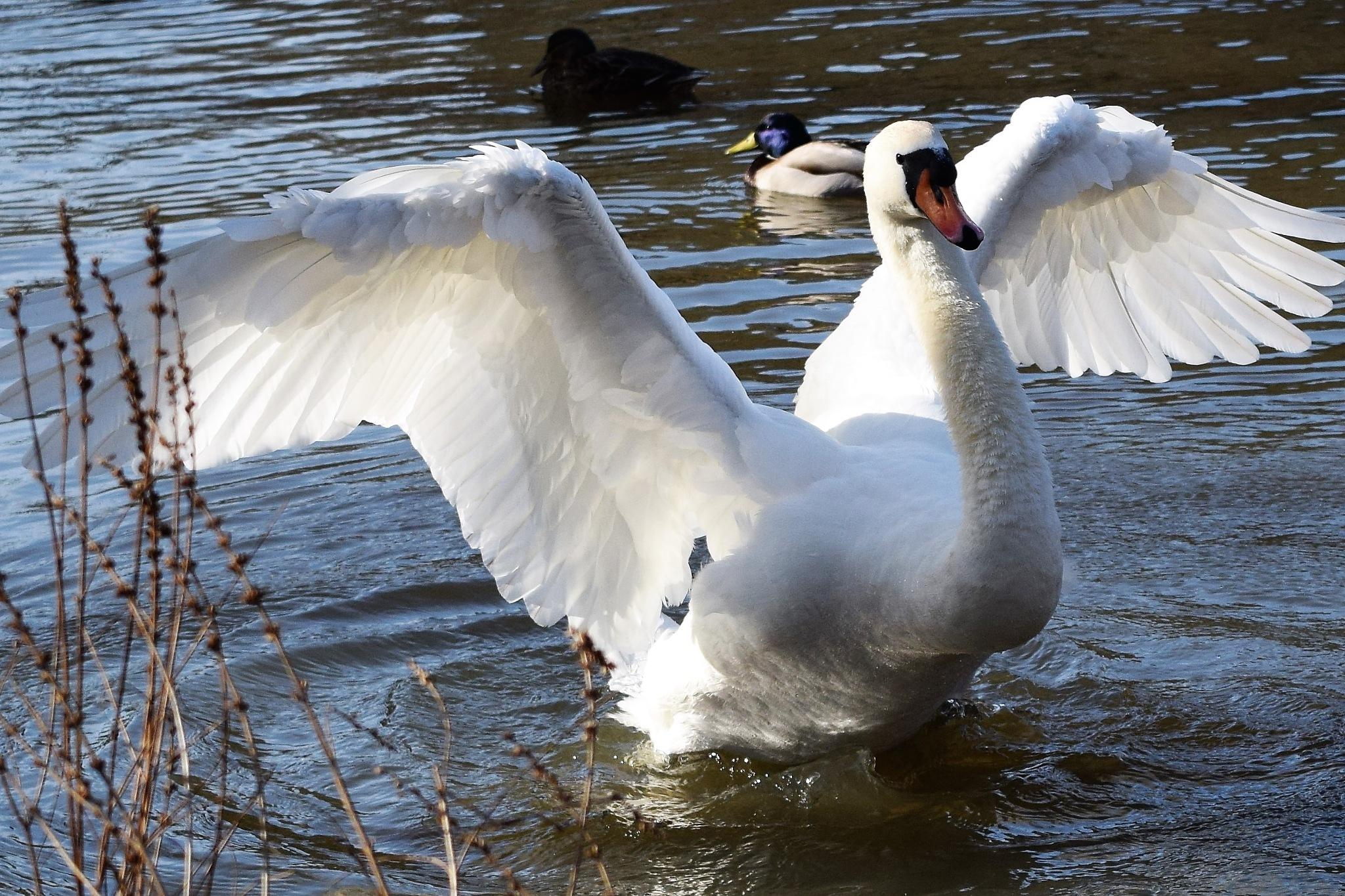 Swan Celebration by beachbaby58
