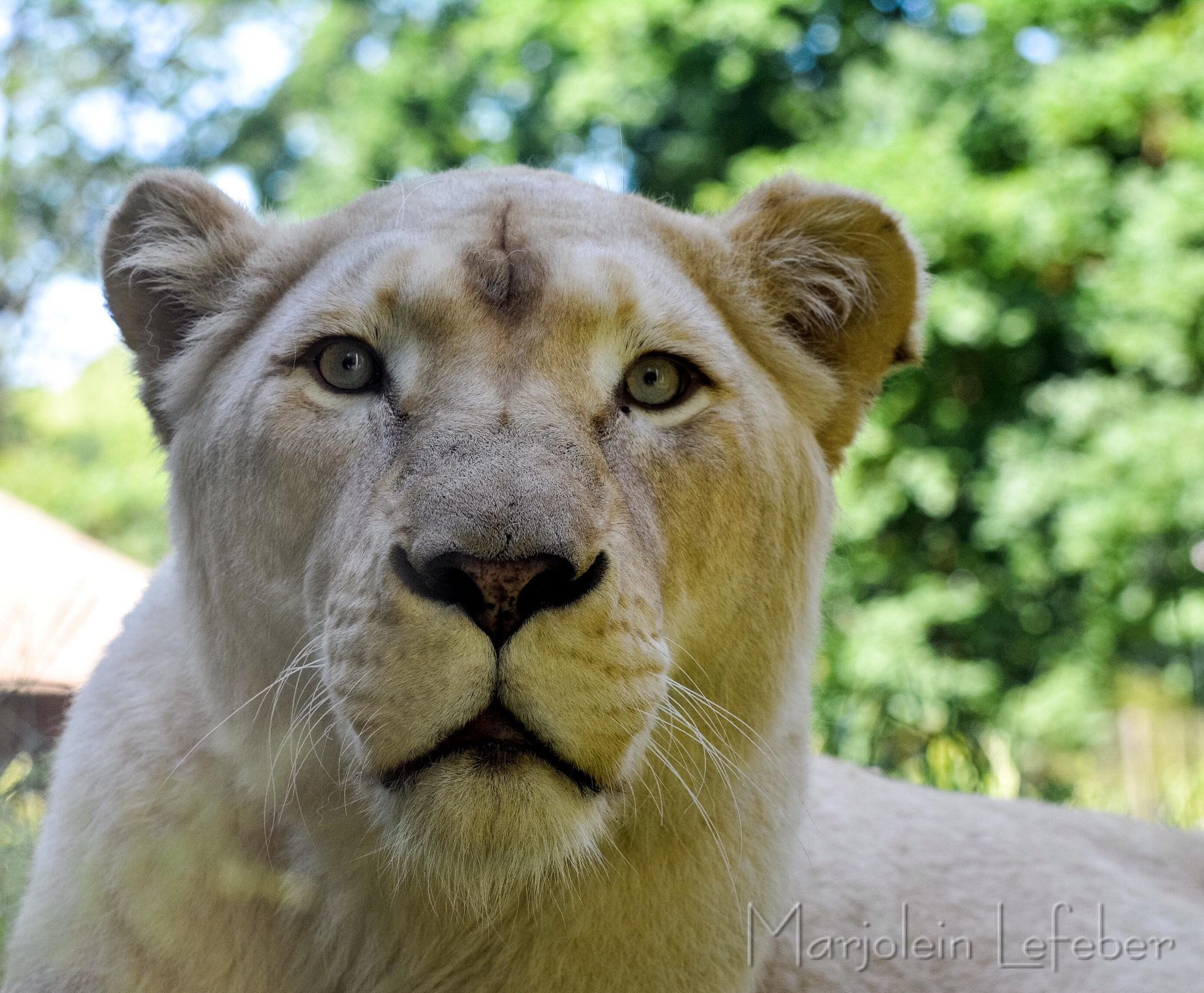 Lion by Marjoleinlefeber
