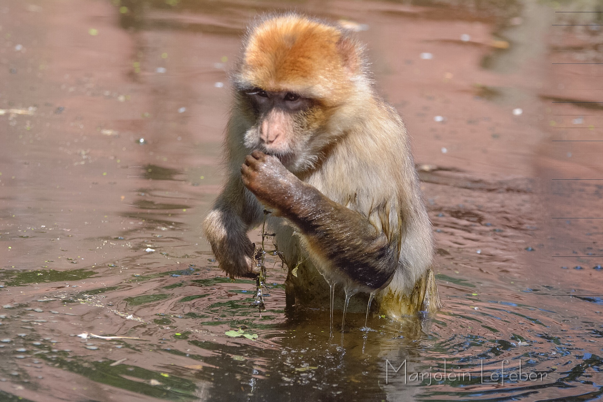 Monkey looking for food  by Marjoleinlefeber