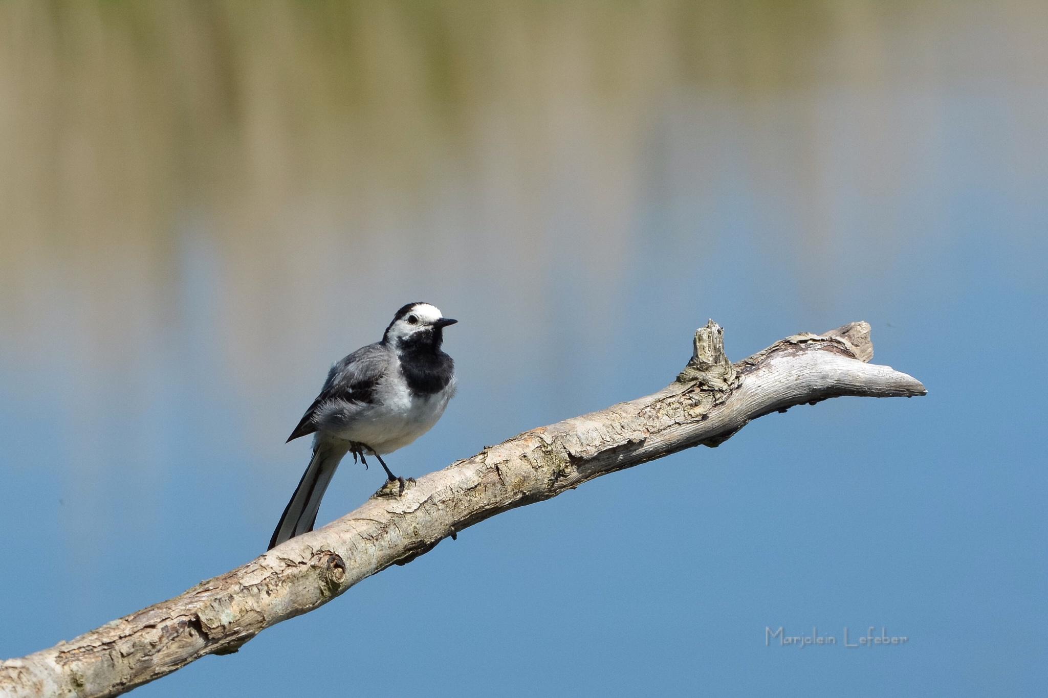 Young bird kwikstaart by Marjoleinlefeber