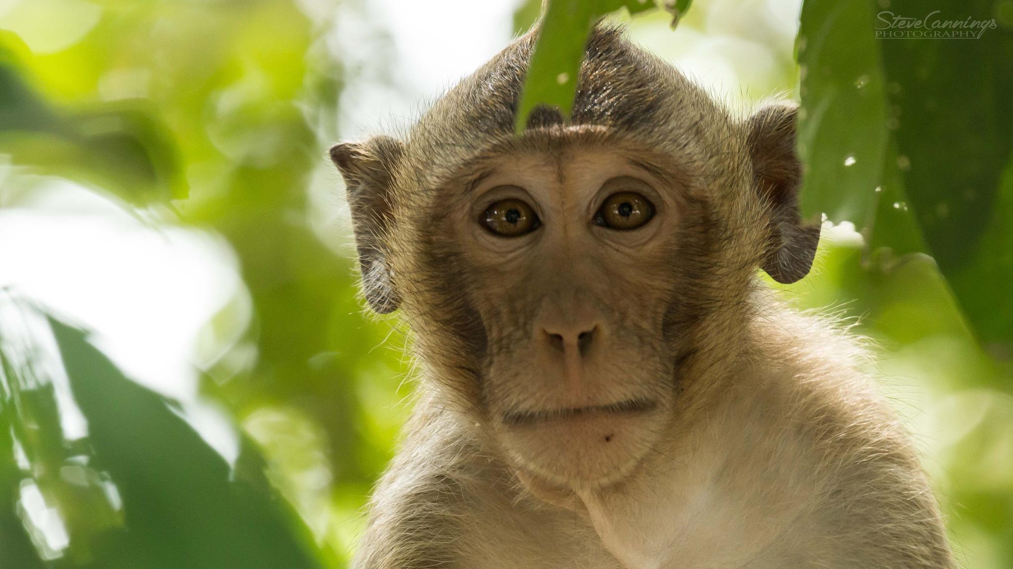 Monkey by Steve Cannings
