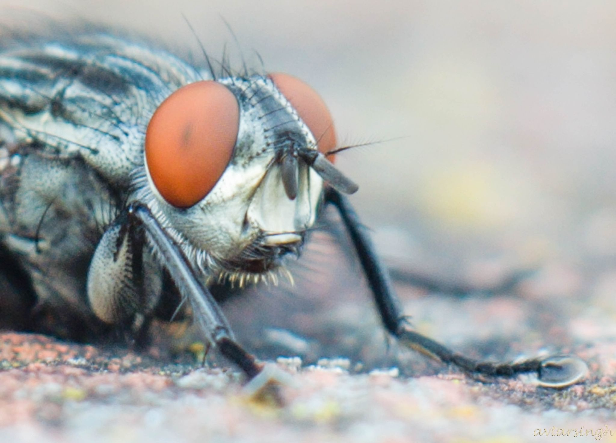 Fly - Close -up by Avtar Singh