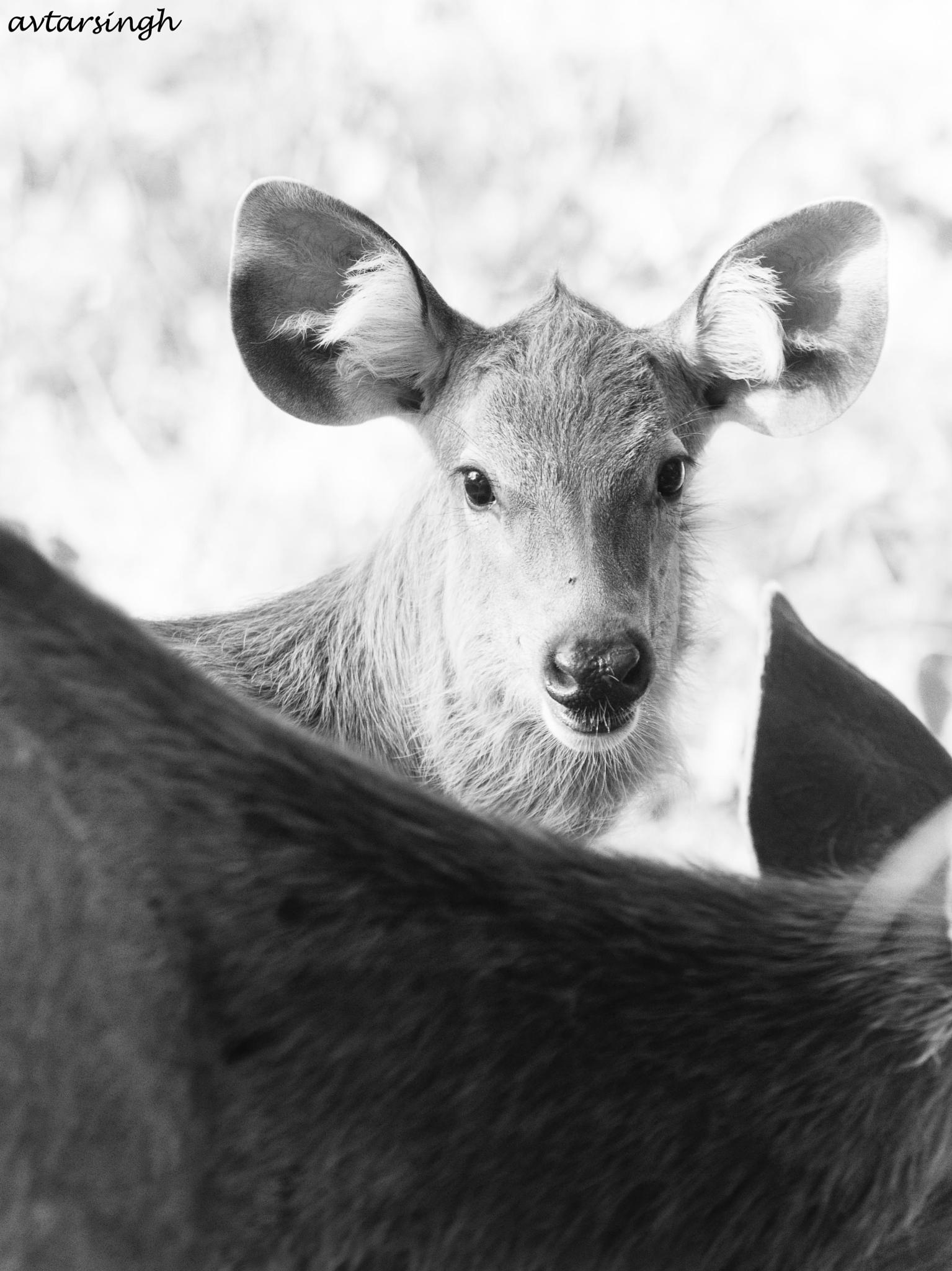 Photo in Animal #samber dears #looking. eyes #alert ears #animal #nature