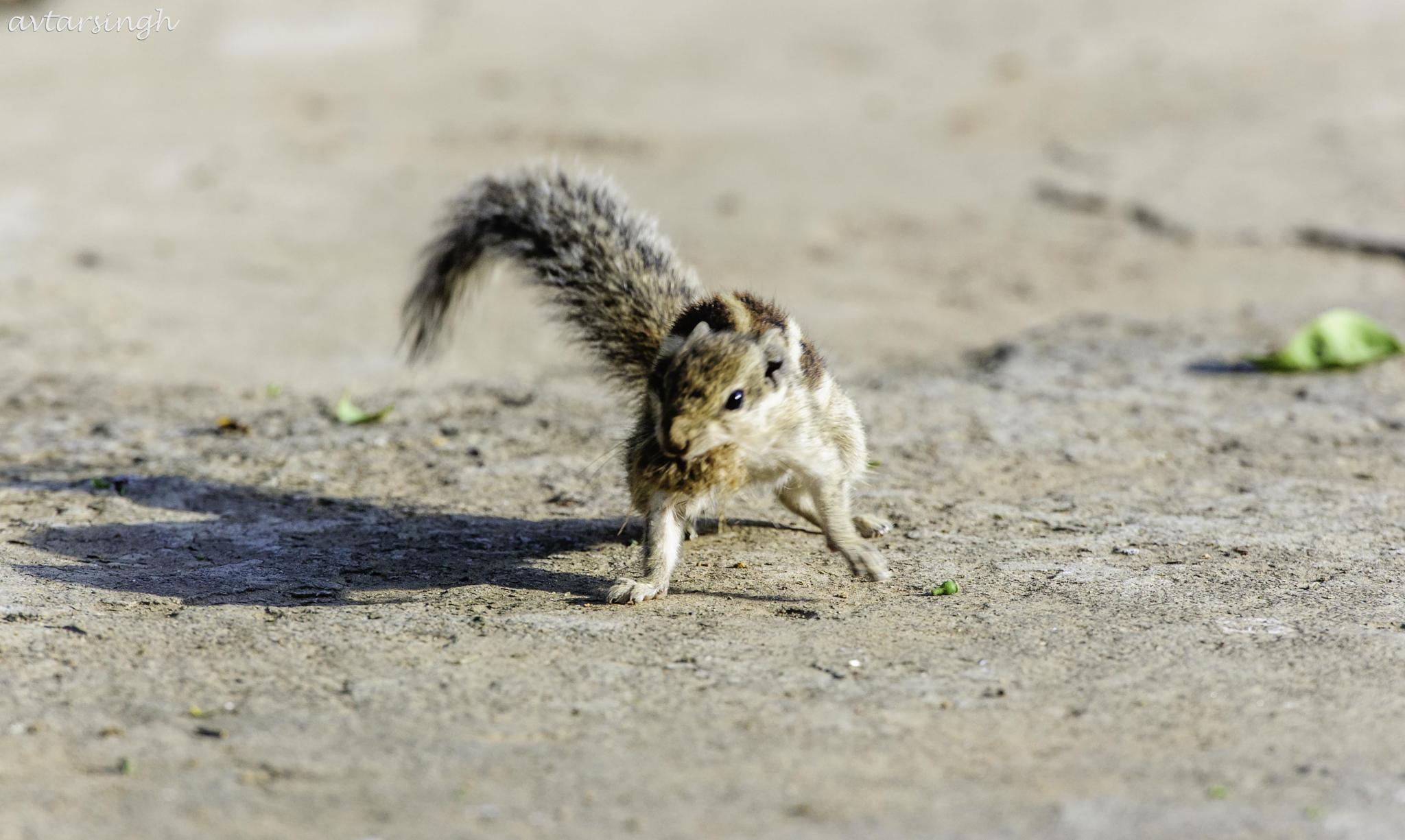 Palm Squirrel by Avtar Singh