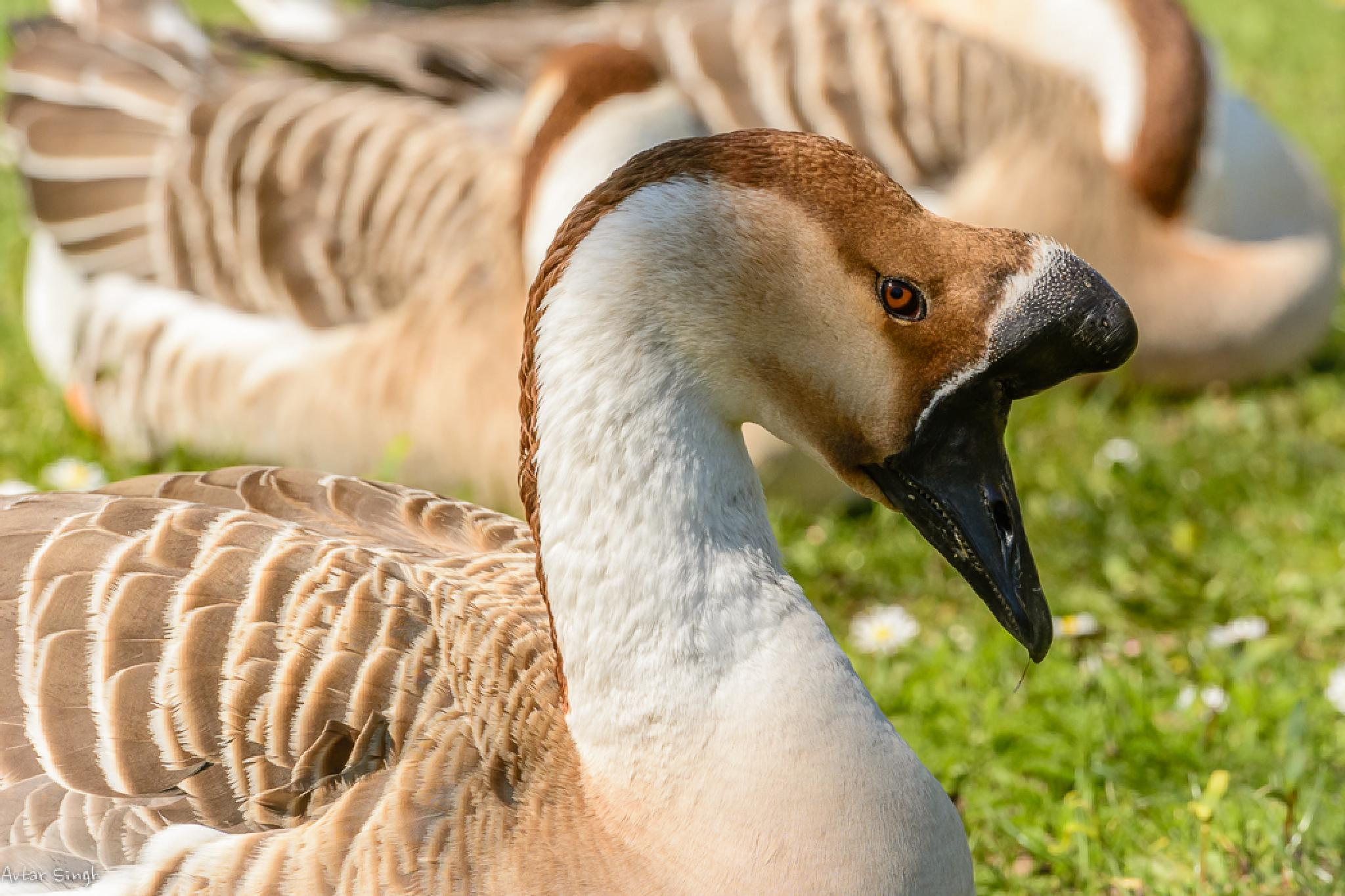 Chinese/ domestic goose by Avtar Singh