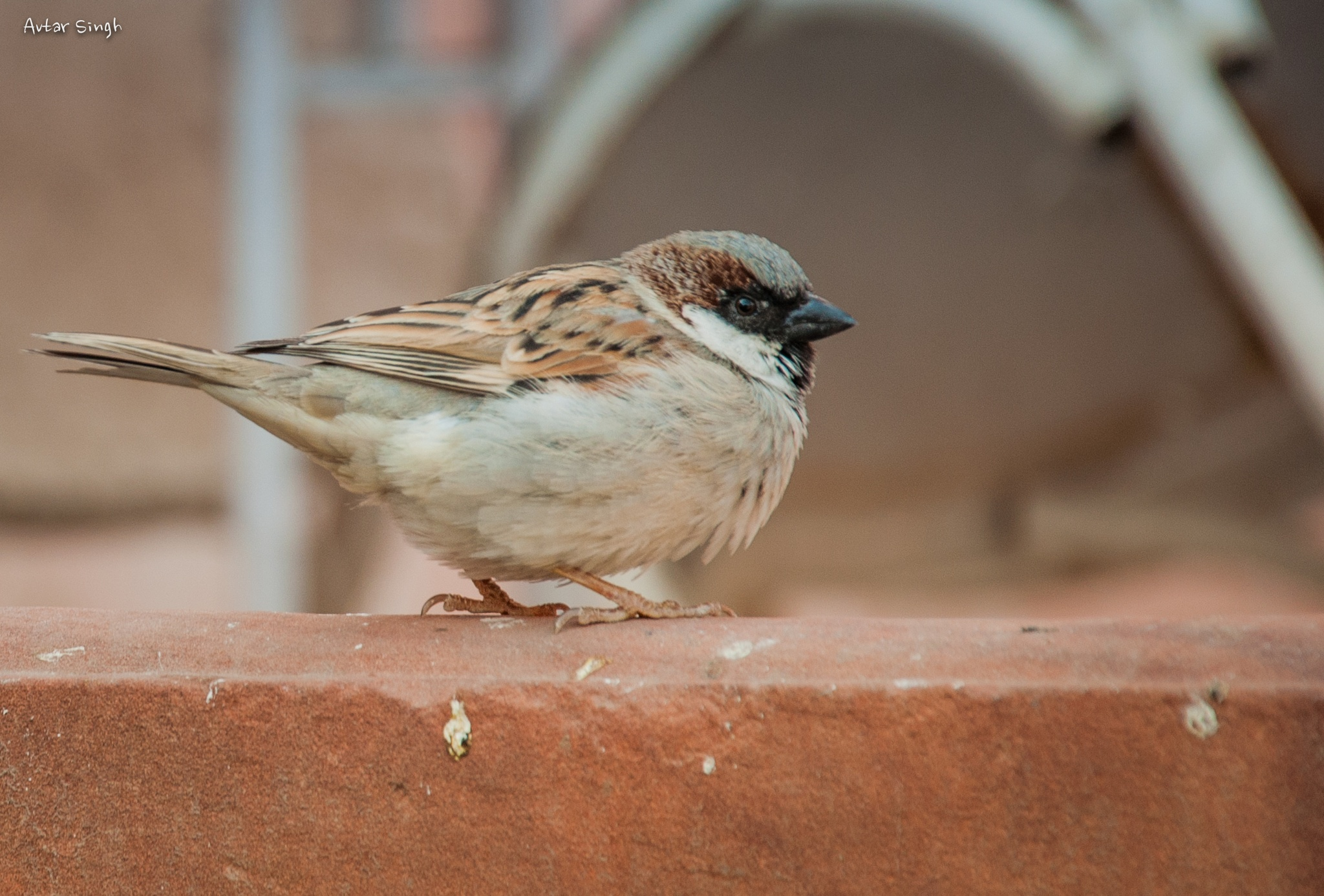 House Sparrow by Avtar Singh