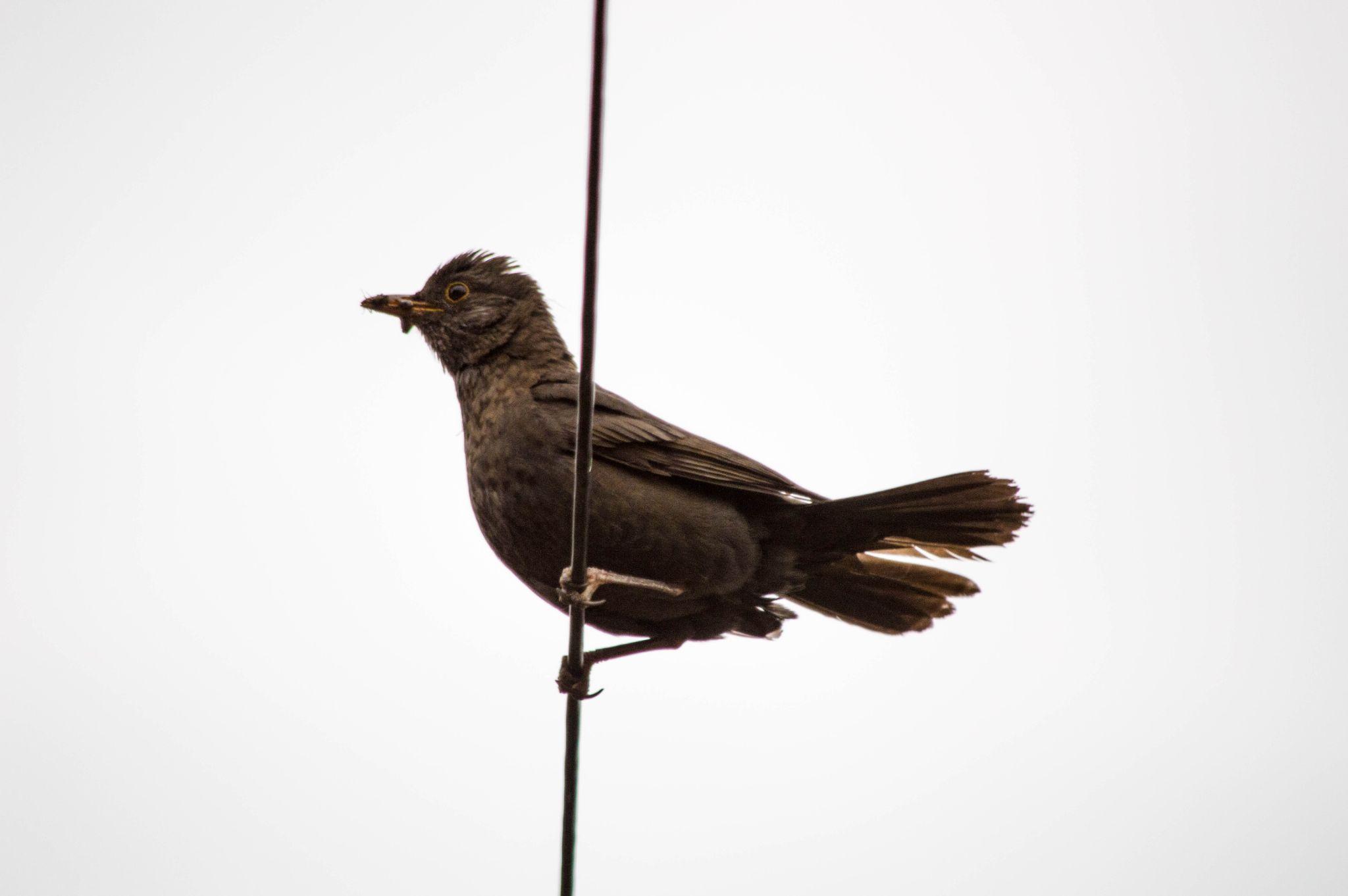 female blackbird by Robert Stephenson