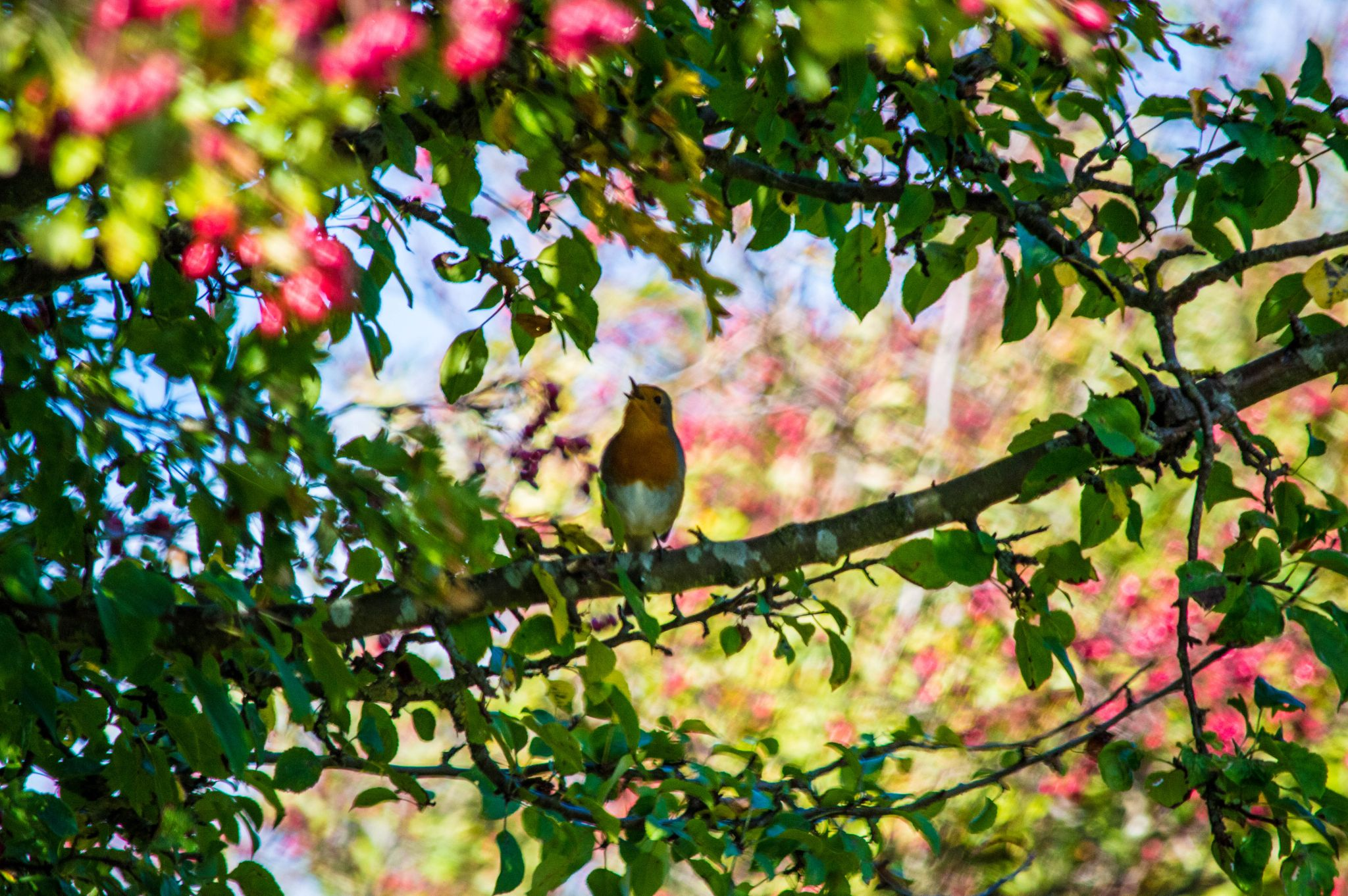 a robin in song by Robert Stephenson