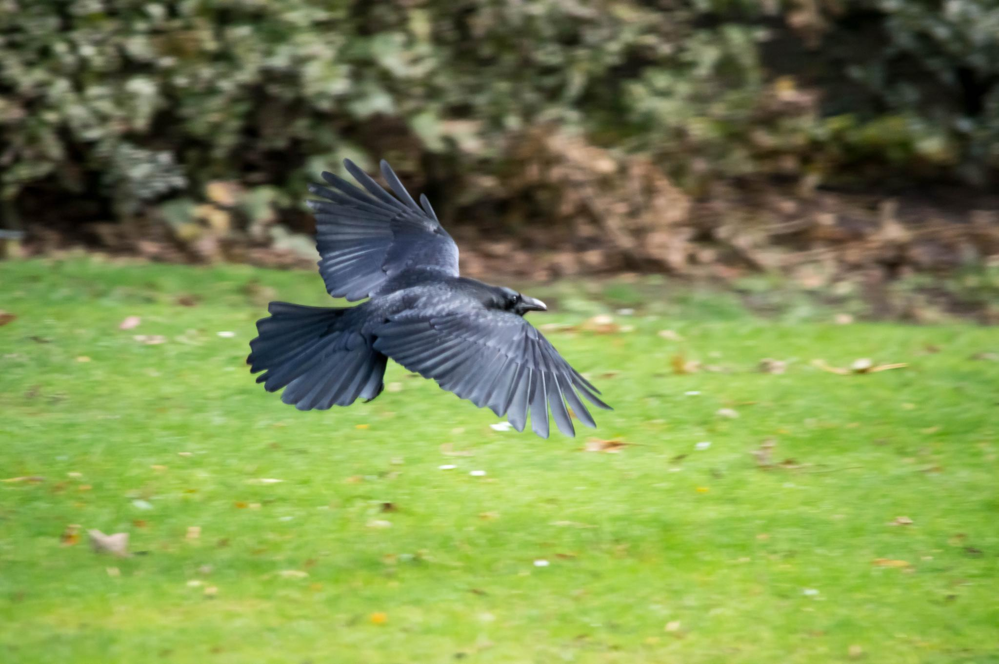 crow in flight by Robert Stephenson