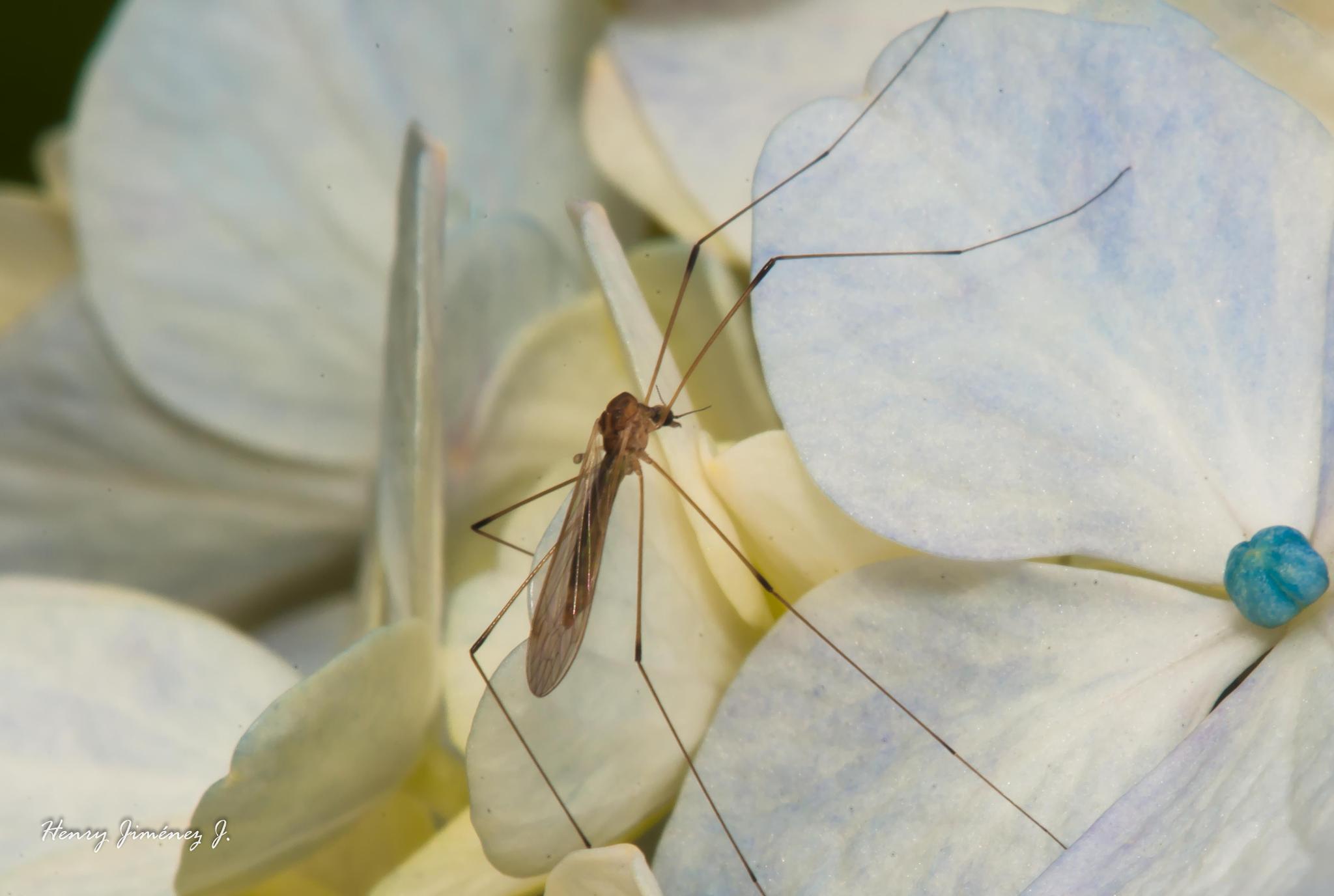 Tipulidae en flor de hortensia. by Henry Jiménez J