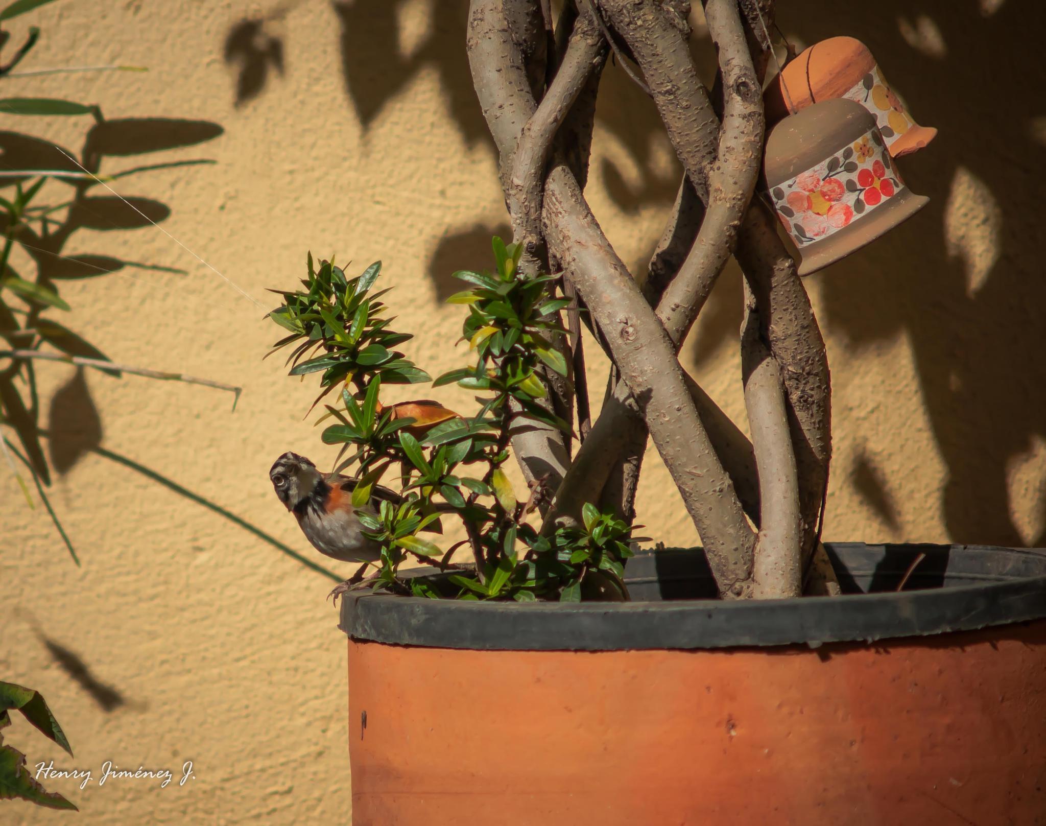 De aves: El come maíz by Henry Jiménez J