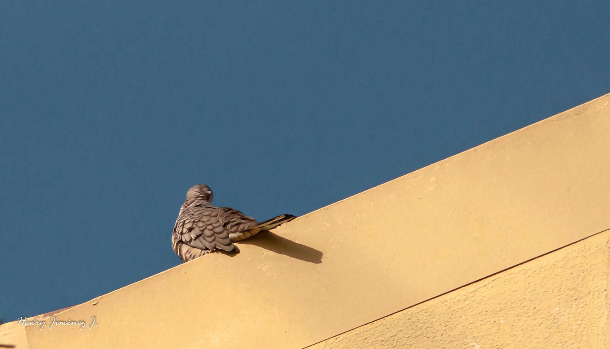 De aves: La curruca. by Henry Jiménez J