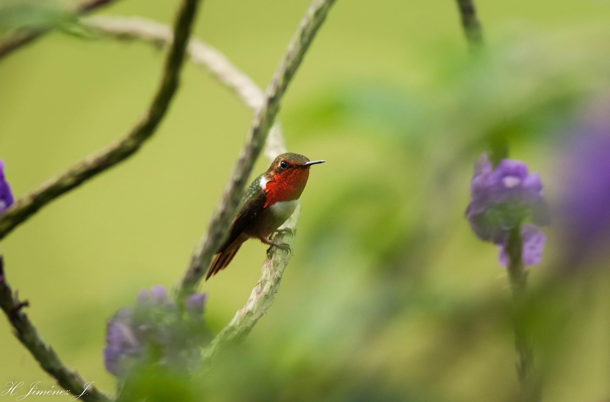 Volcano Hummingbird. by Henry Jiménez J