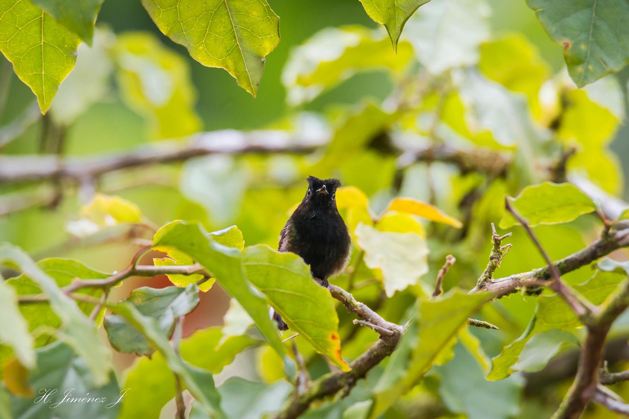 Black-bellied Hummingbird (male). by Henry Jiménez J
