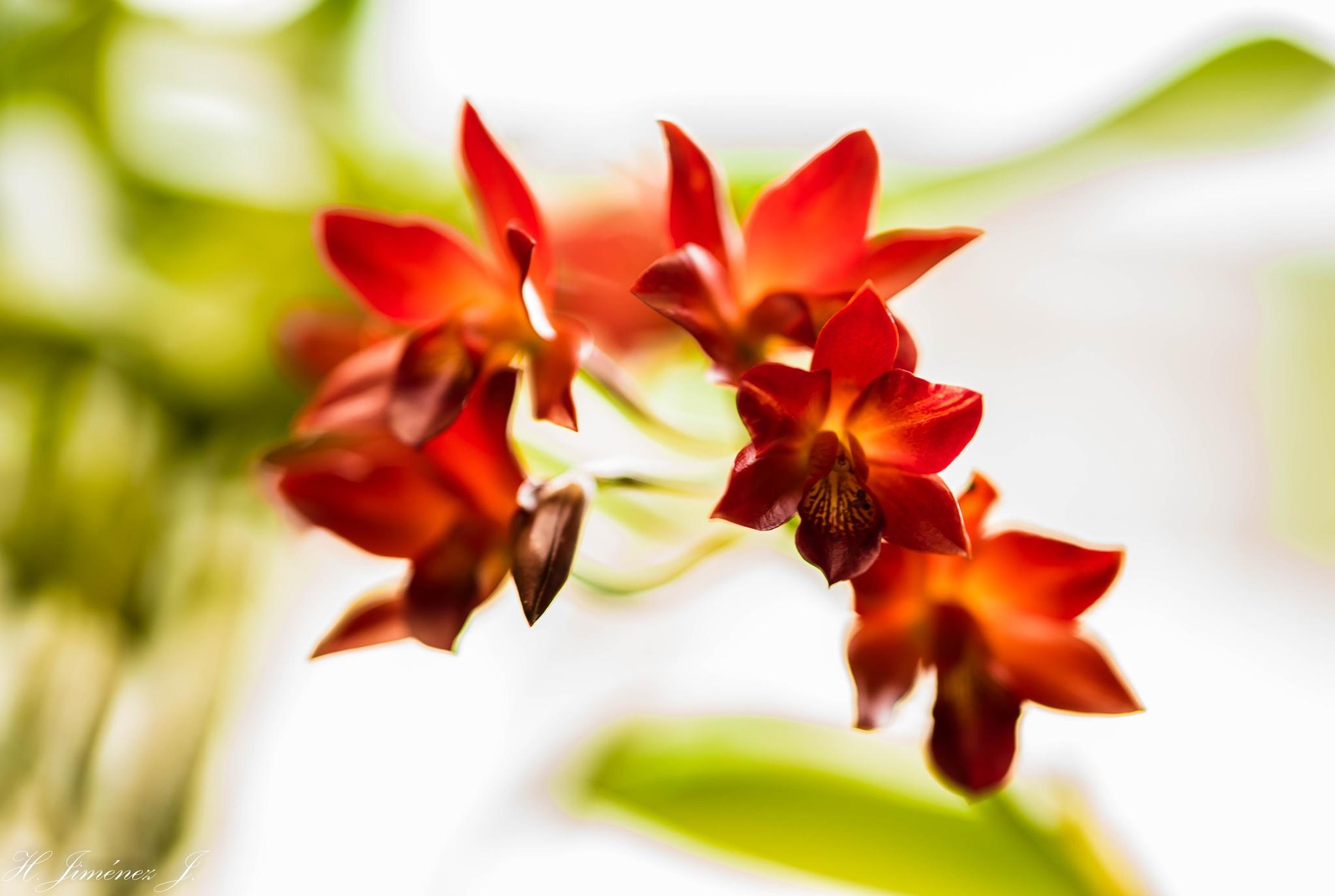 Serie: Orquídeas. by Henry Jiménez J