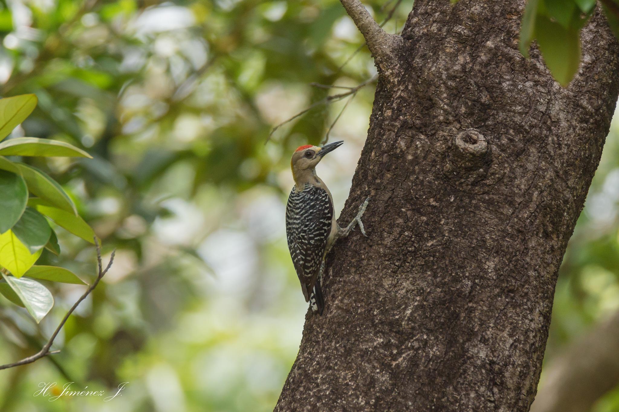 Hoffmann´s Woodpecker. by Henry Jiménez J