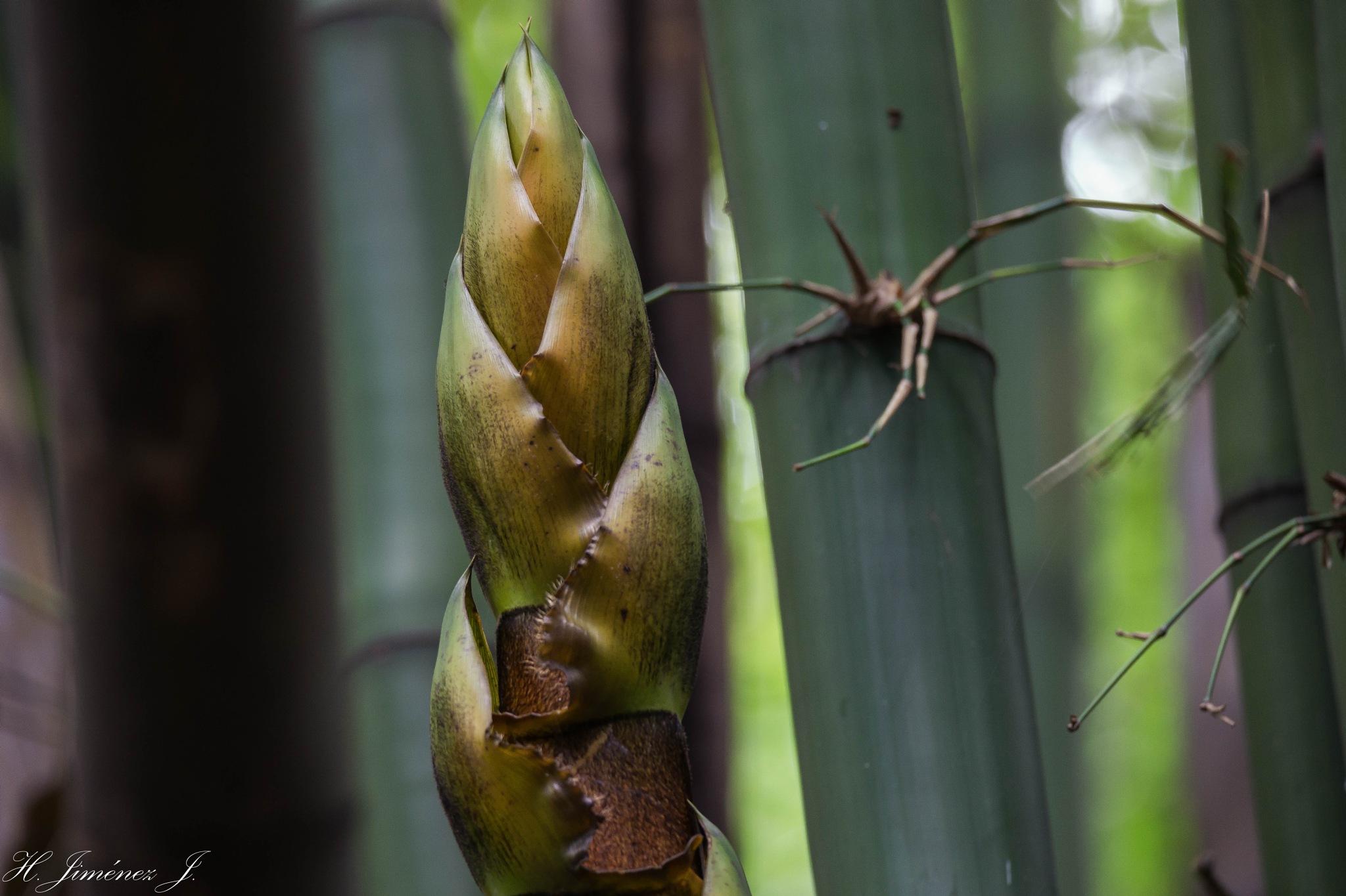Enorme brote de bambú. by Henry Jiménez J