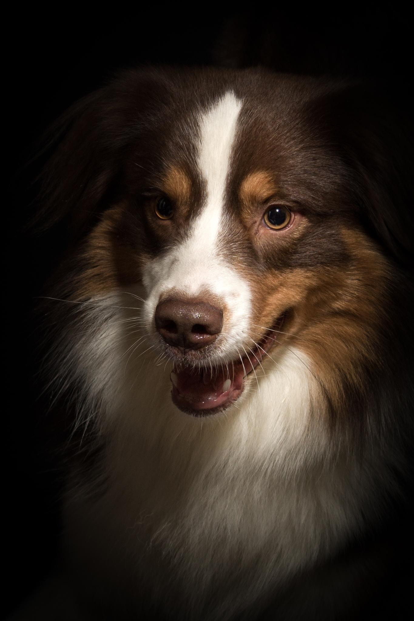 Photo in Random #dog #pet #animal #cute #australian shepherd #hund #haustier #tier #portrait #studio