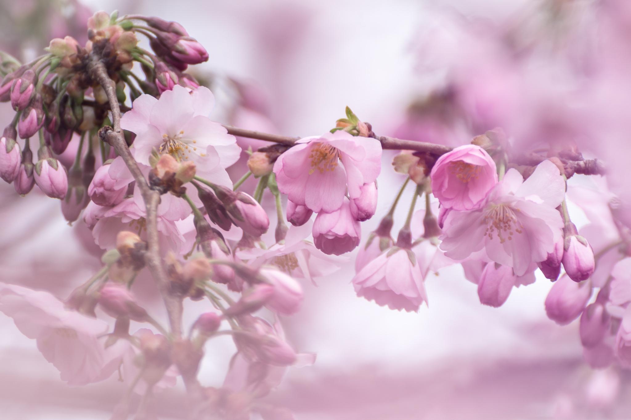 Sakura by Michael Wipperfürth