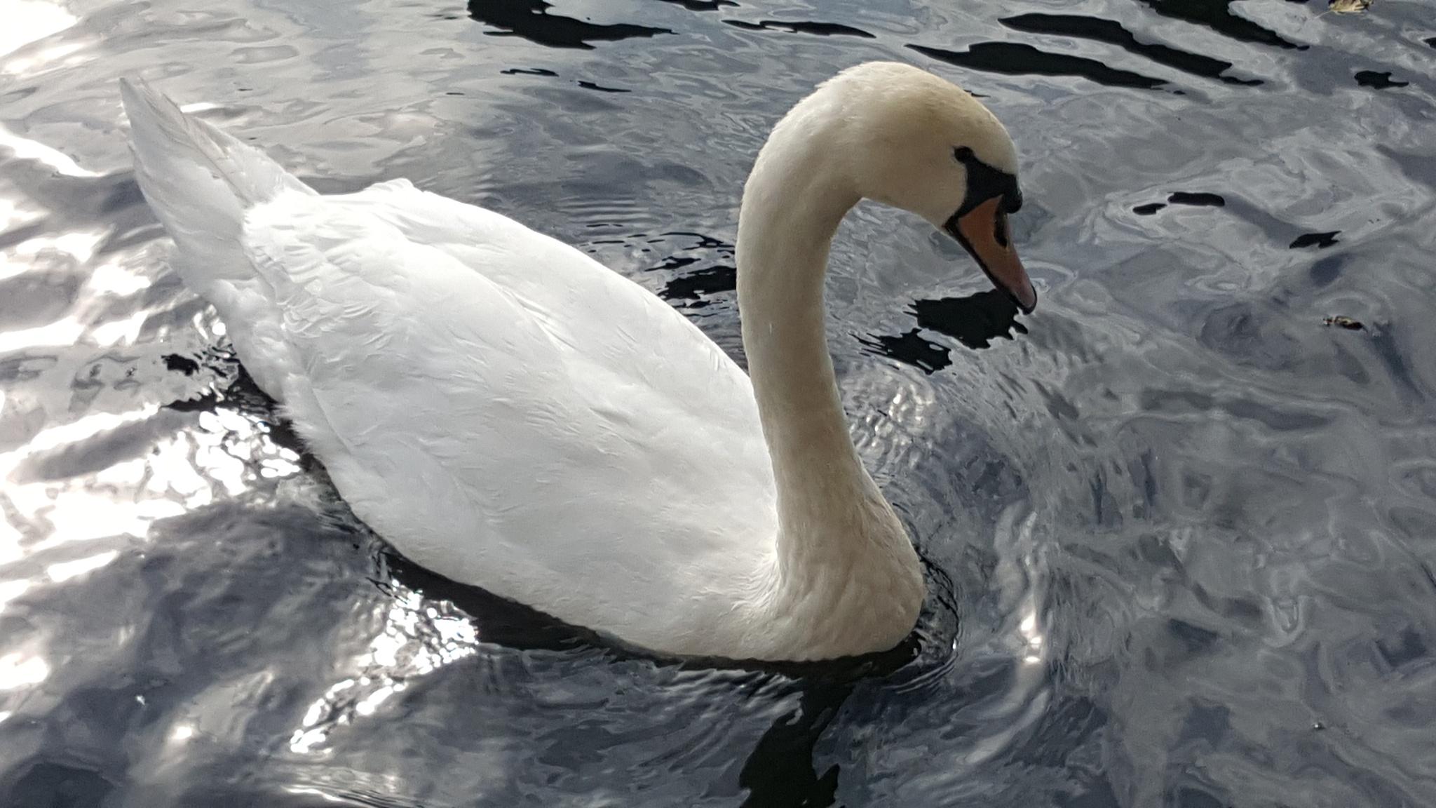 swan by shyelee moore