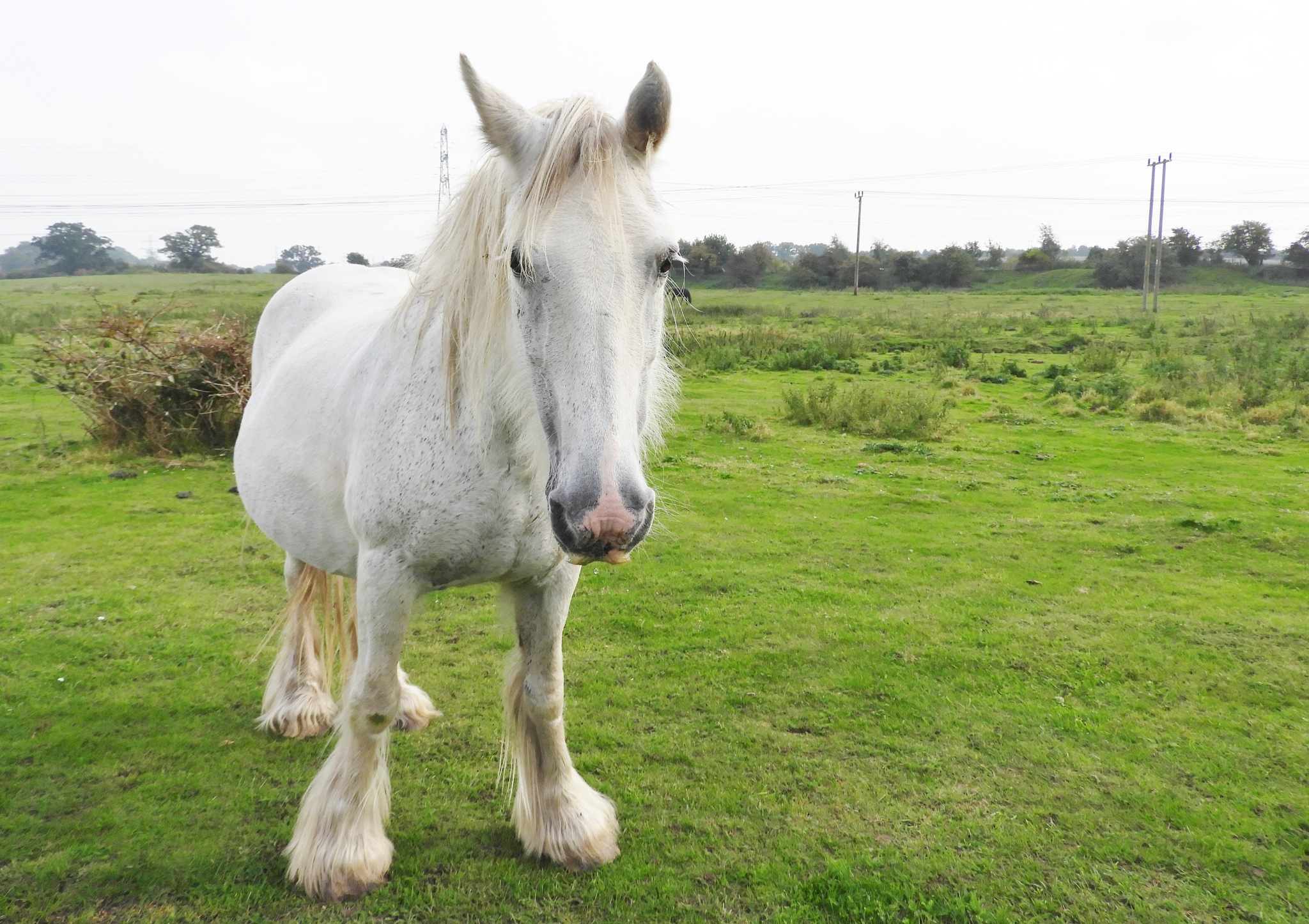 lovely white horse by shyelee moore