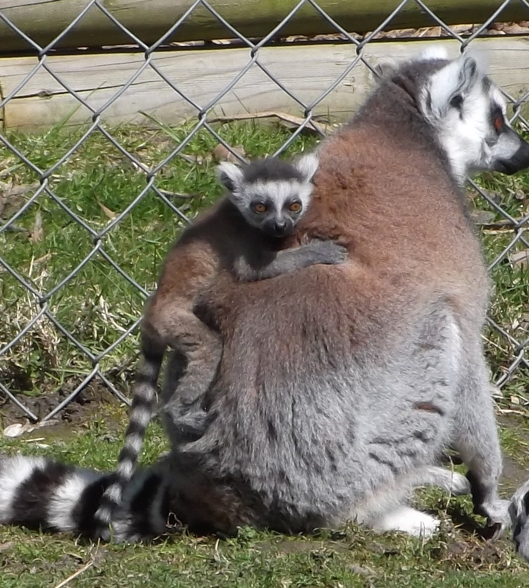 Baby Lemur with Mother by Michelle Bradbury