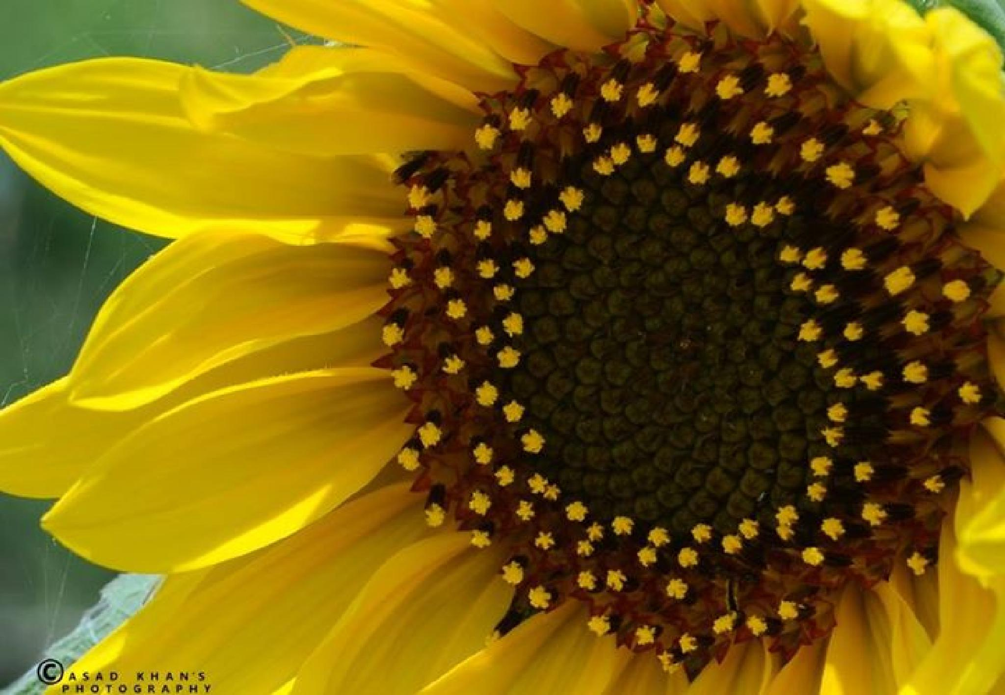Sun Flower by Muhammad Asad Khan