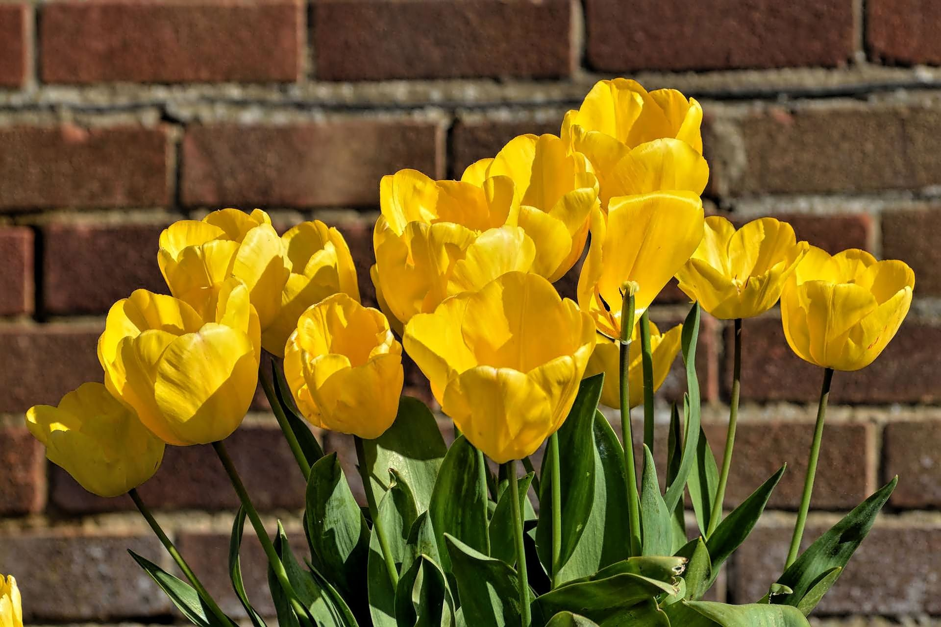 Yellow tulips against the wall by ianstandivan