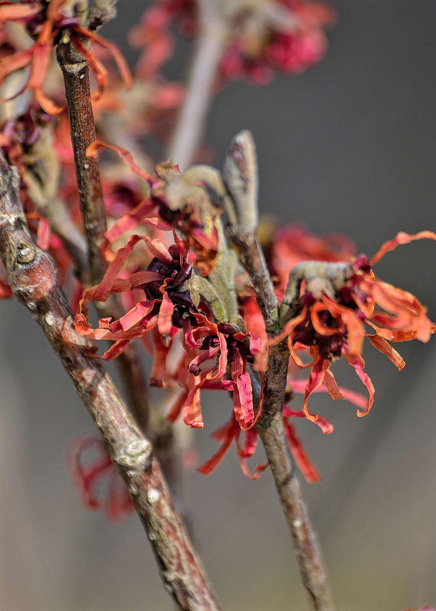 winter flowering hazel by ianstandivan