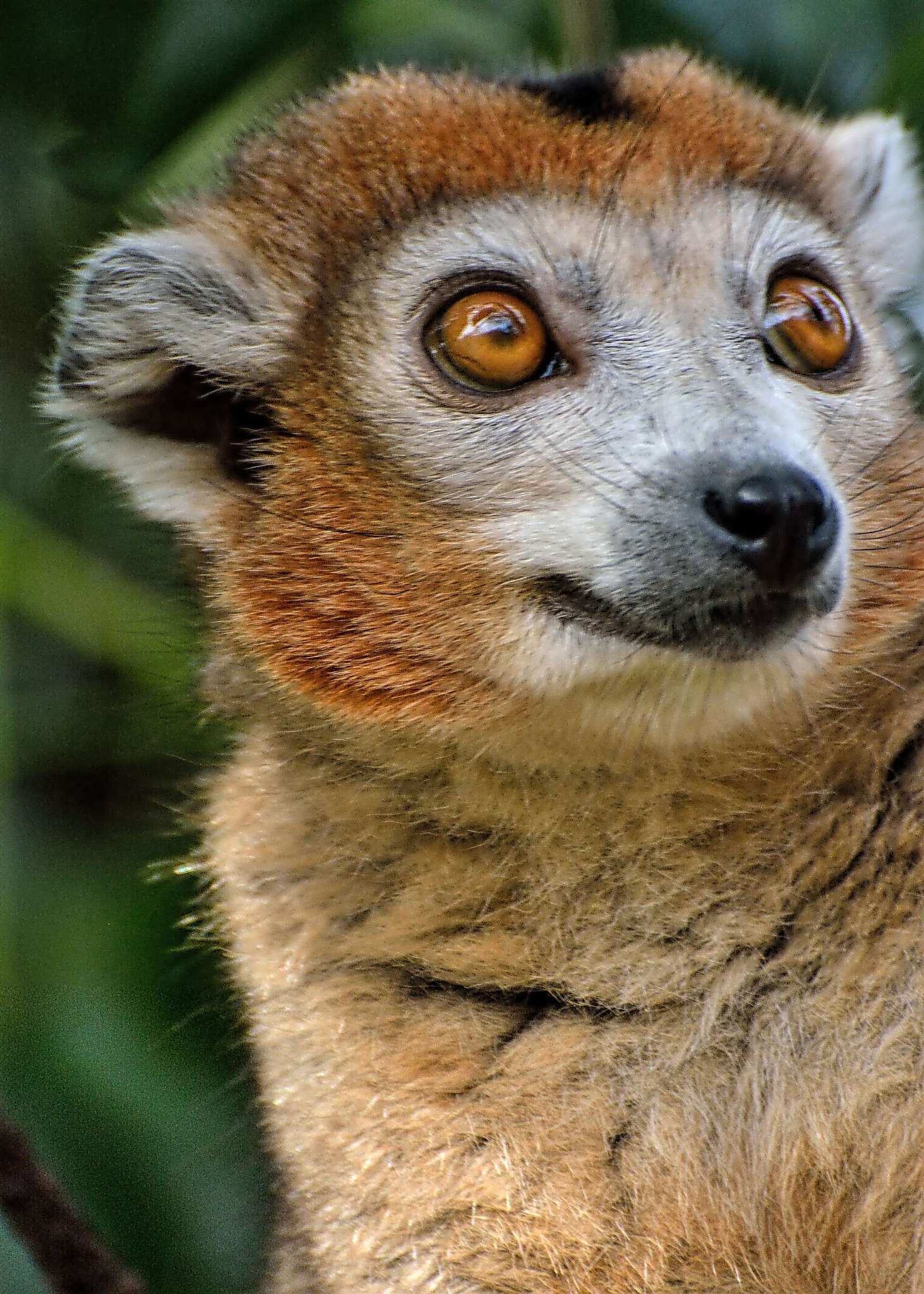 female Crowned lemur portrait by ianstandivan