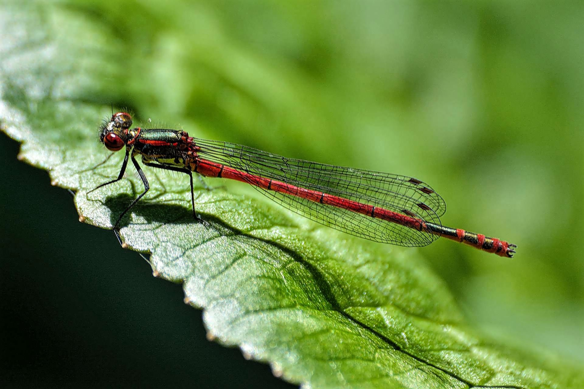 Large Red Damselfly by ianstandivan
