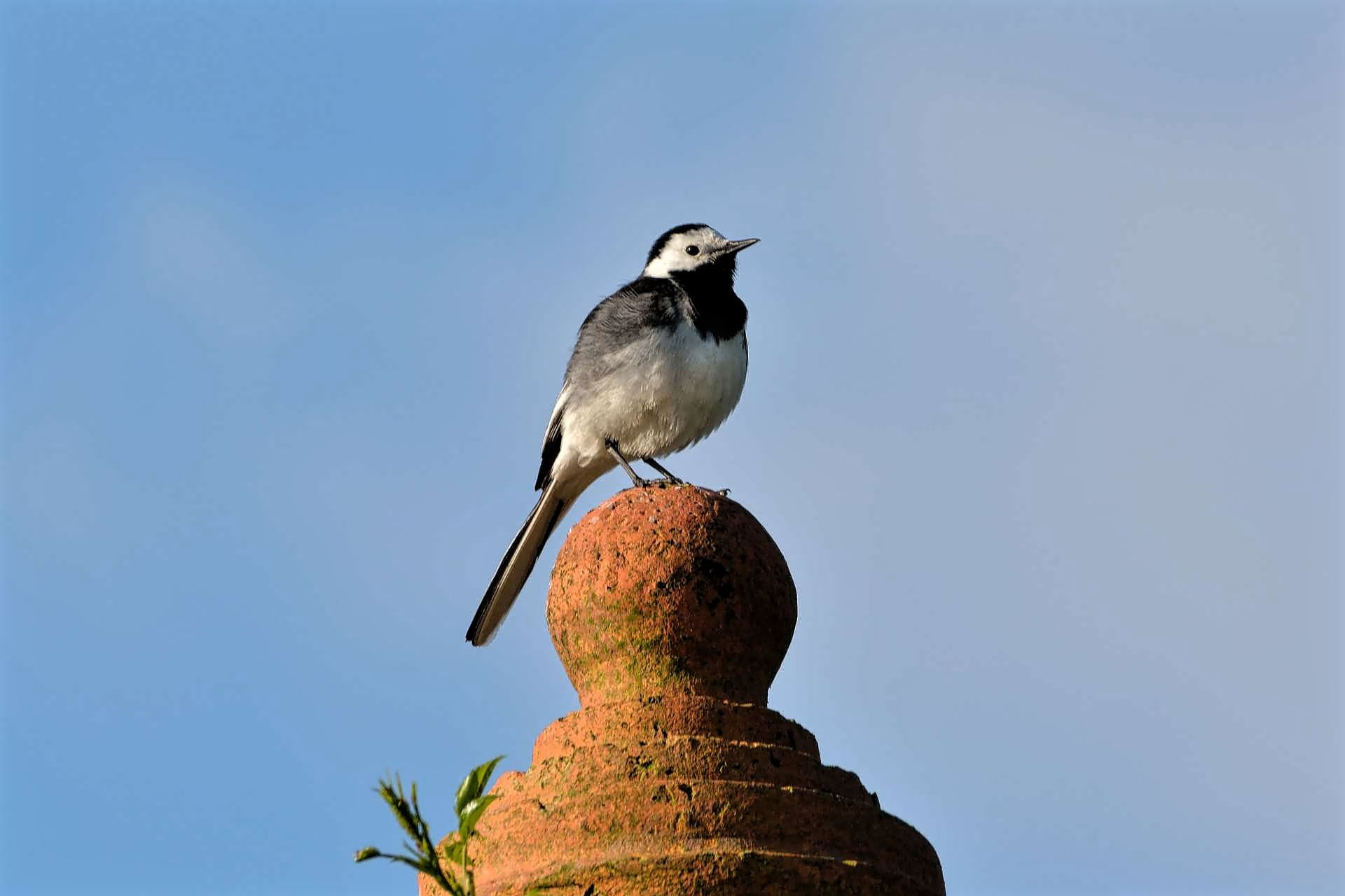 Pied Wagtail..loud and proud! by ianstandivan