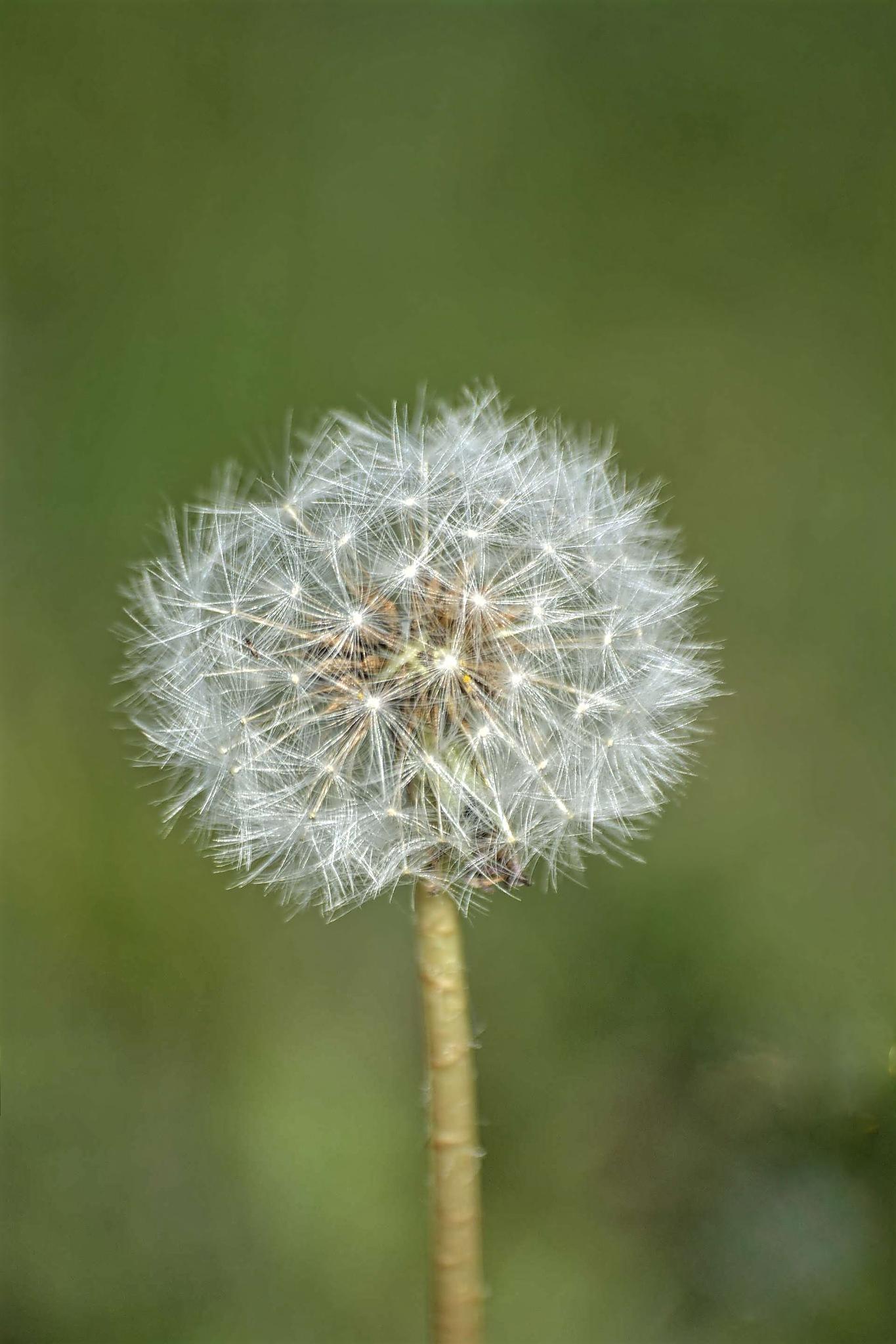seedhead by ianstandivan