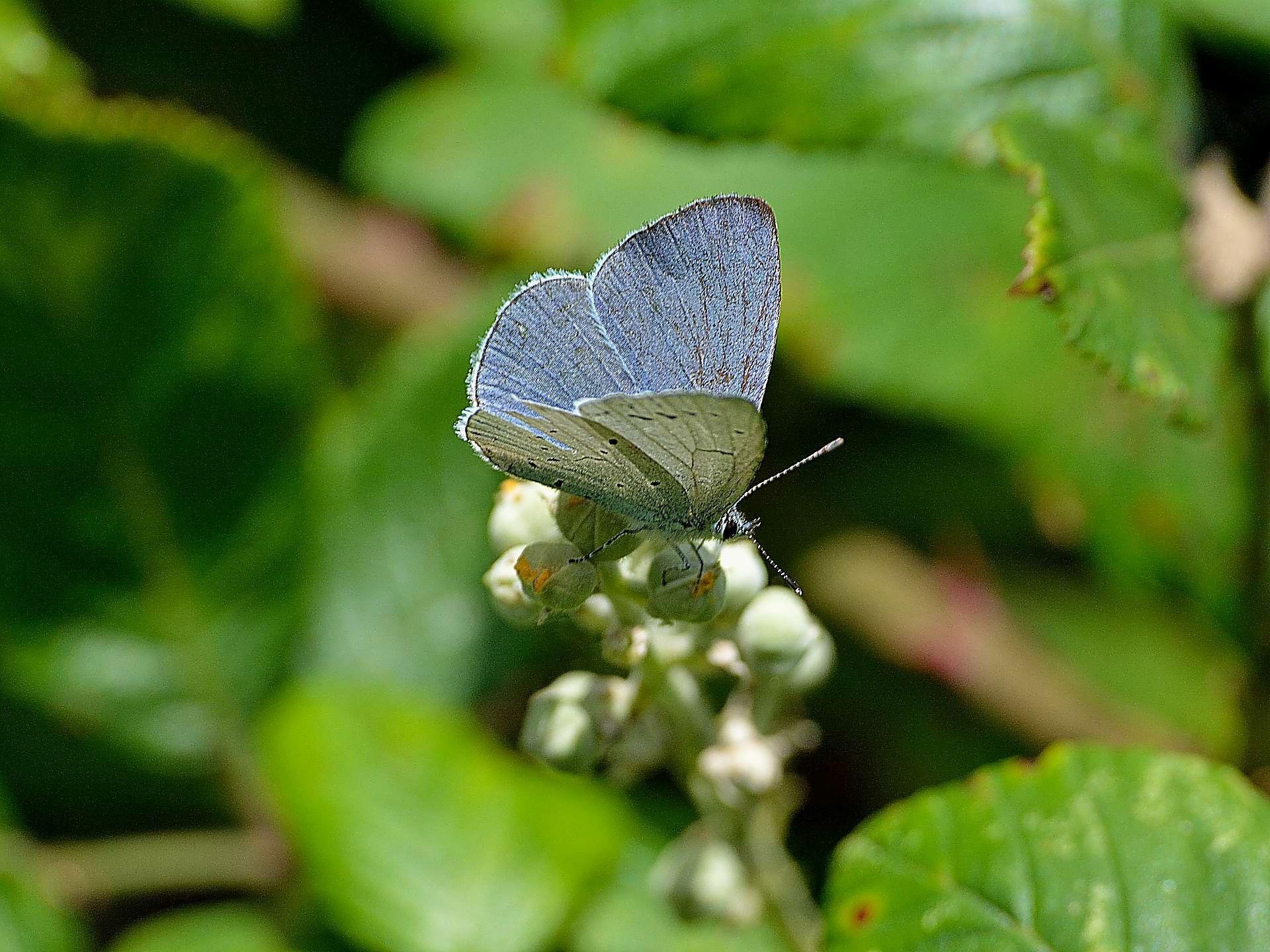 Holly Blue by ianstandivan