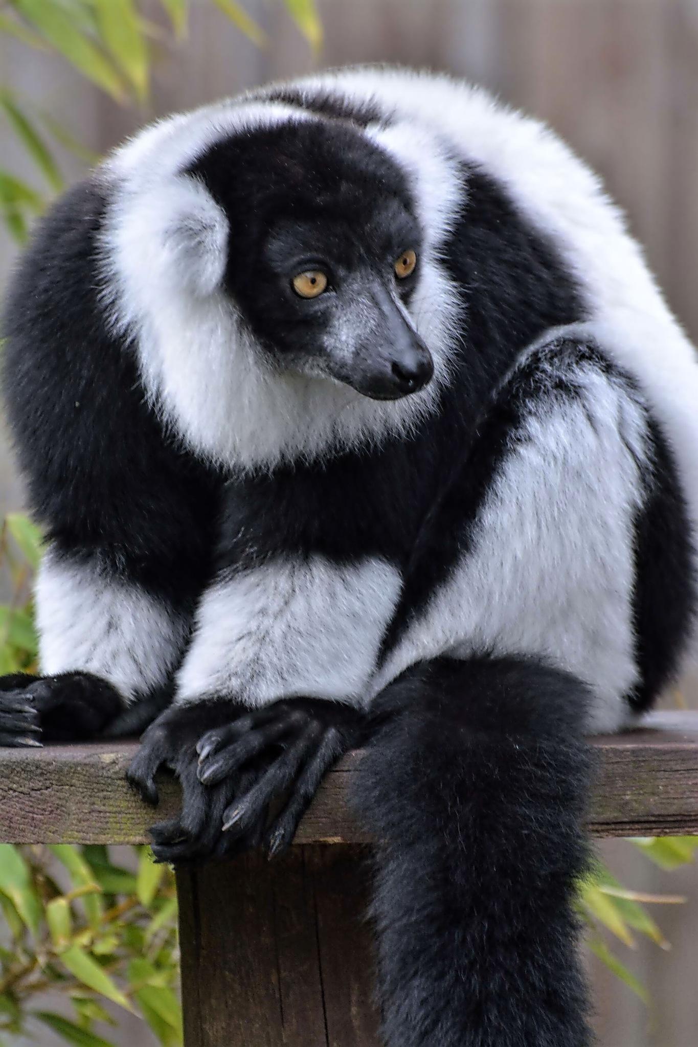 Black and white Ruffed Lemur by ianstandivan